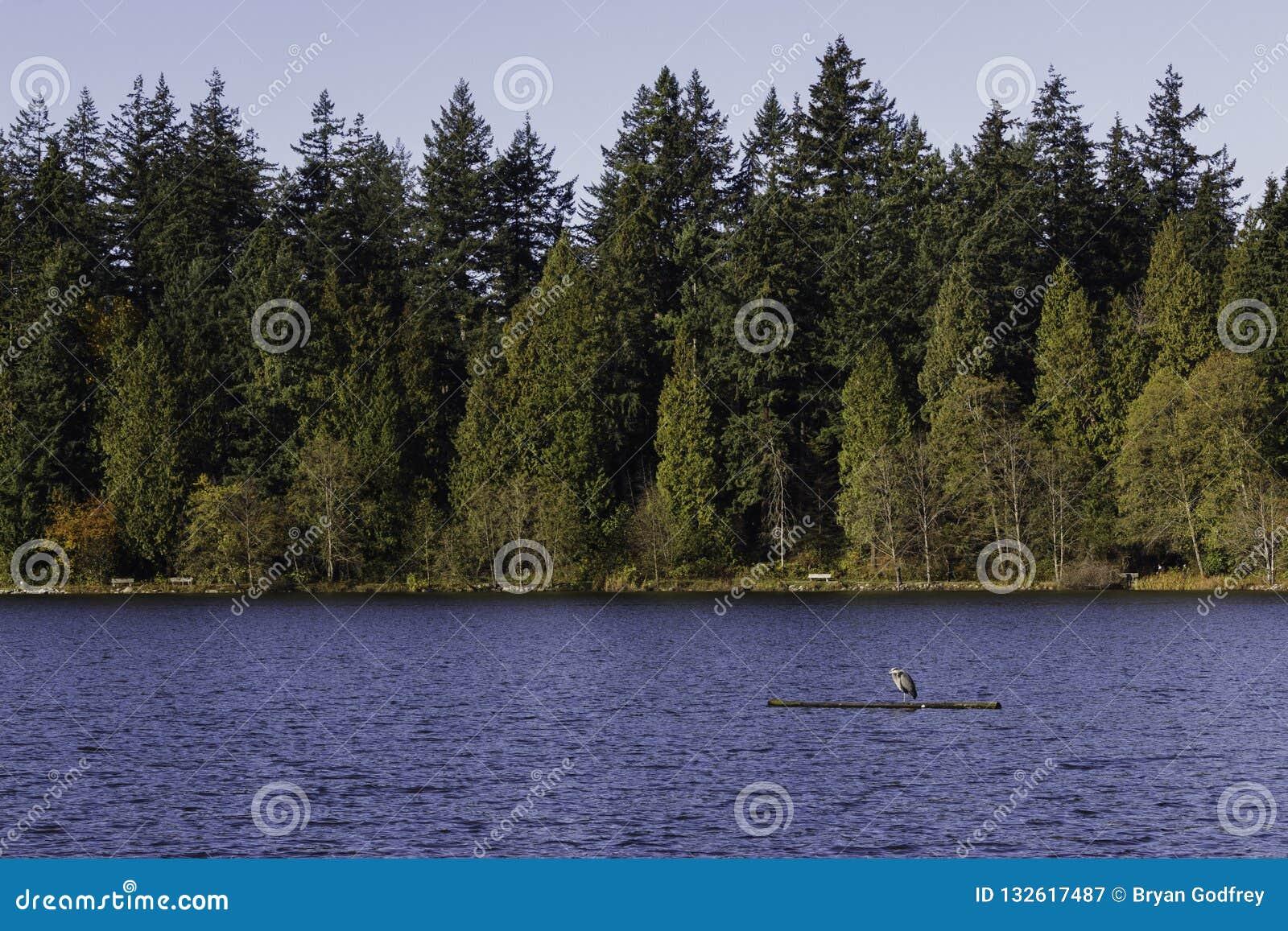 Μπλε ερωδιός που στέκεται σε μια χαμένη σύνδεση λιμνοθάλασσα