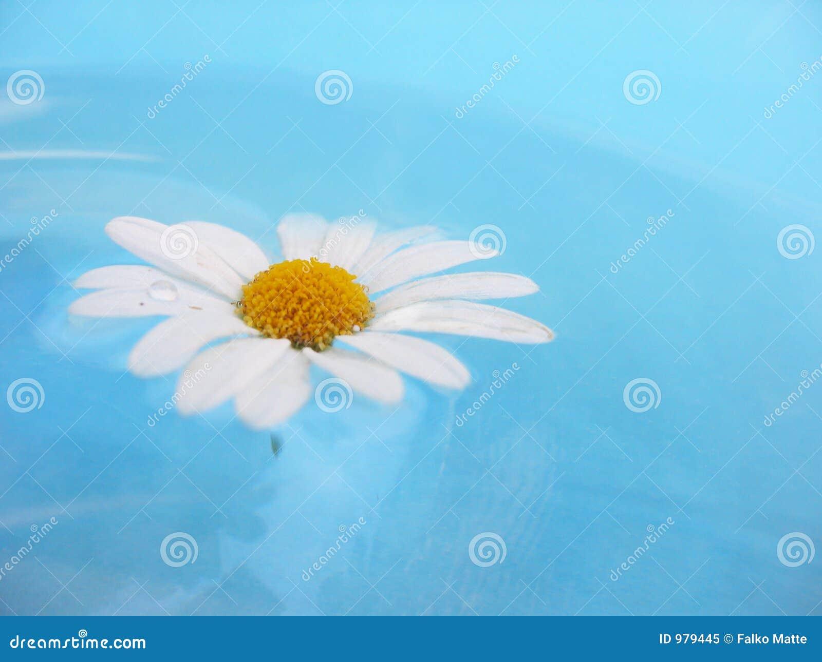 μπλε λευκό μαργαριτών ανασκόπησης