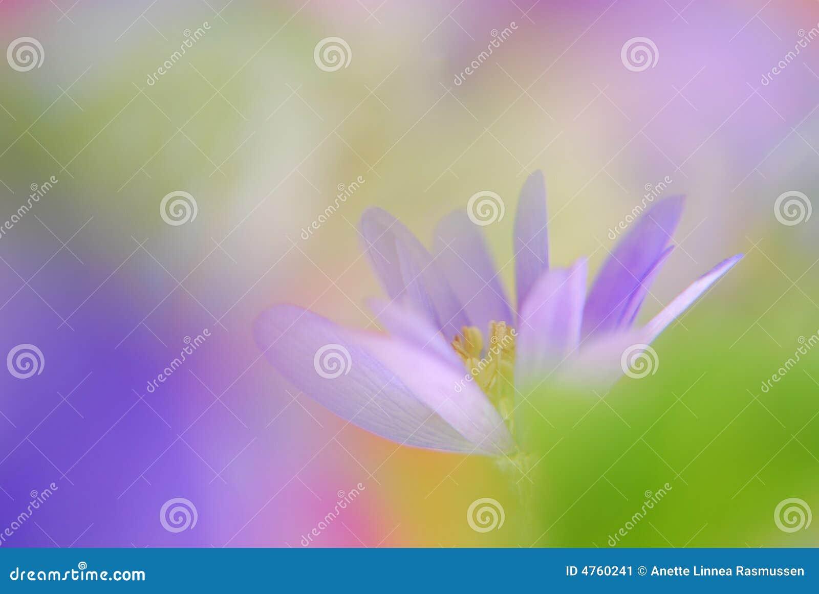 μπλε μαλακός anemone