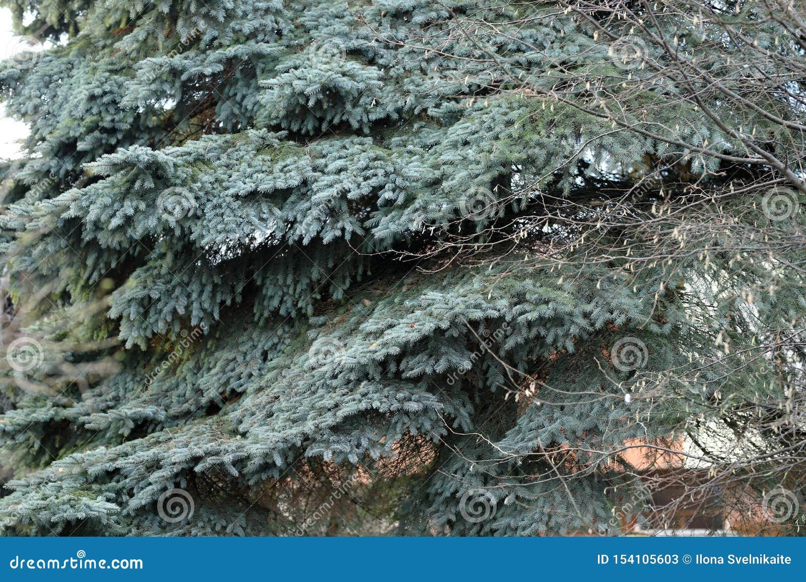 Μπλε χριστουγεννιάτικο δέντρο με τους παλαιούς κλάδους