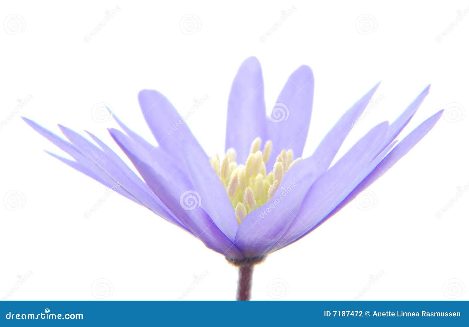 μπλε anemone