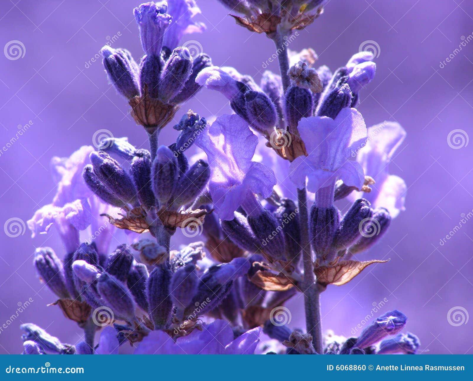 μπλε lavender