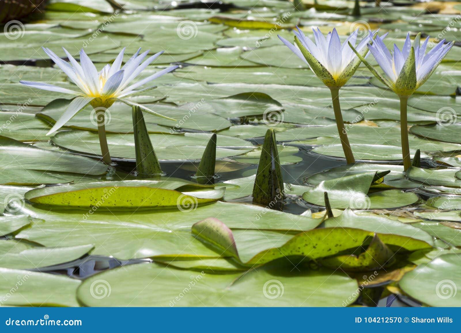 Μπλε Lotus τρία της Αιγύπτου, Nymphaea Caerulea Waterlilies
