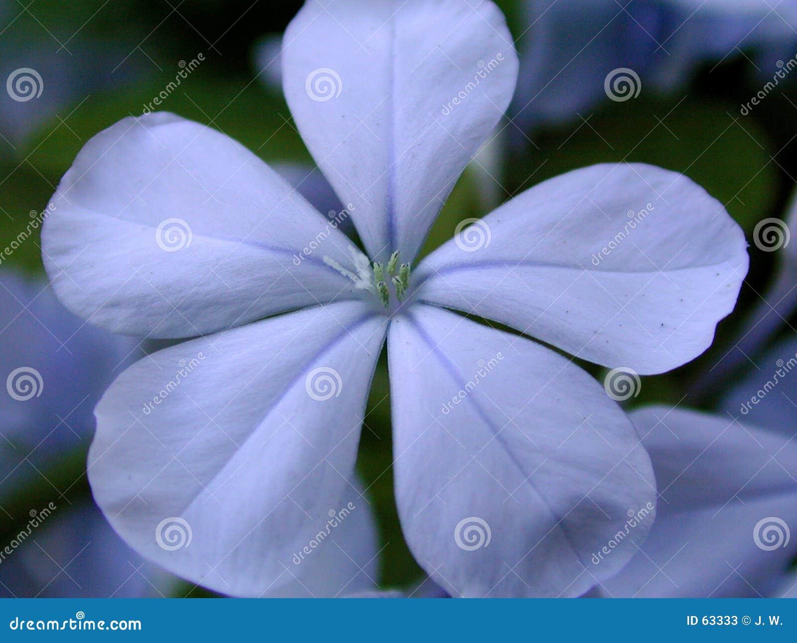 μπλε plumbego λουλουδιών