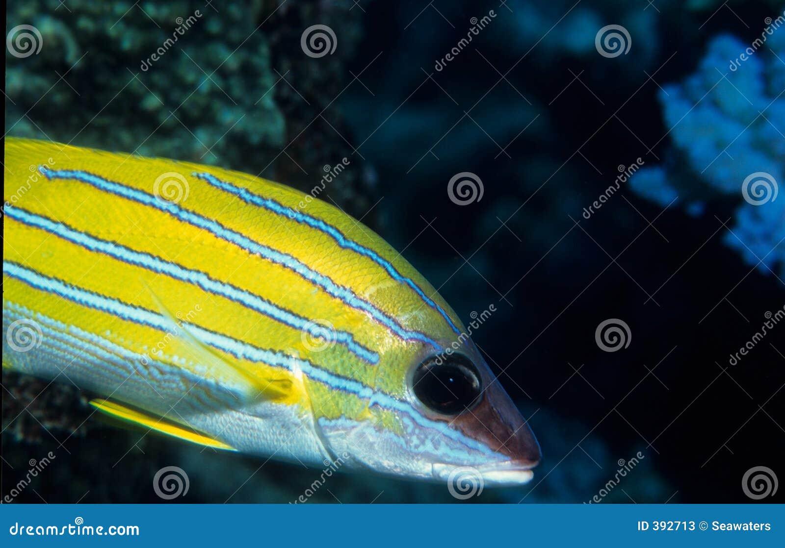 μπλε snapper ψαριών που γδύνεται