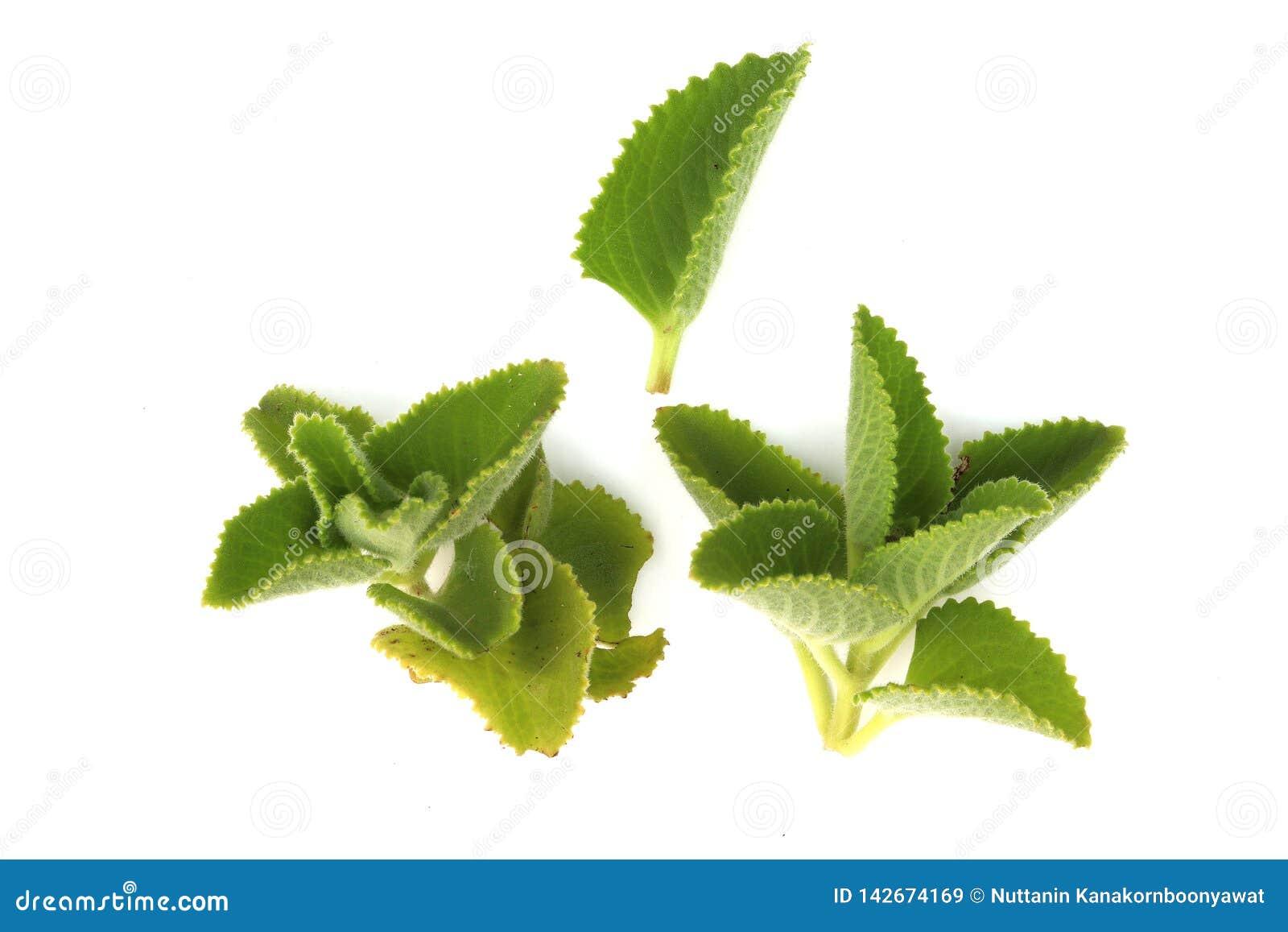 Μποράγκο χώρας, ινδικό μποράγκο, Coleus amboinicus Lour Lour Plectranthus amboinicus o