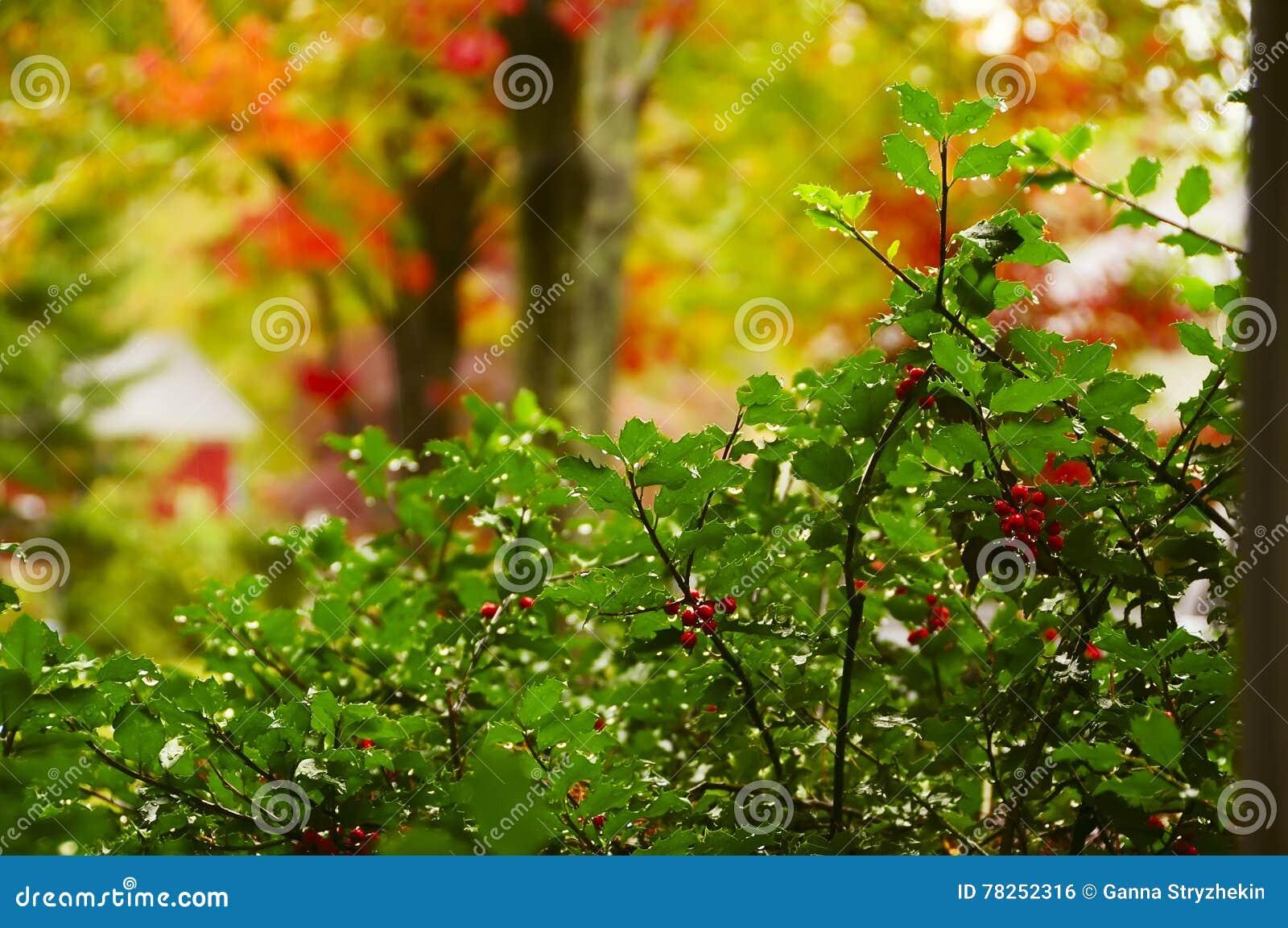 Μπους με τα μούρα και τις πτώσεις της βροχής, και ζωηρόχρωμα δέντρα στο υπόβαθρο στον κήπο