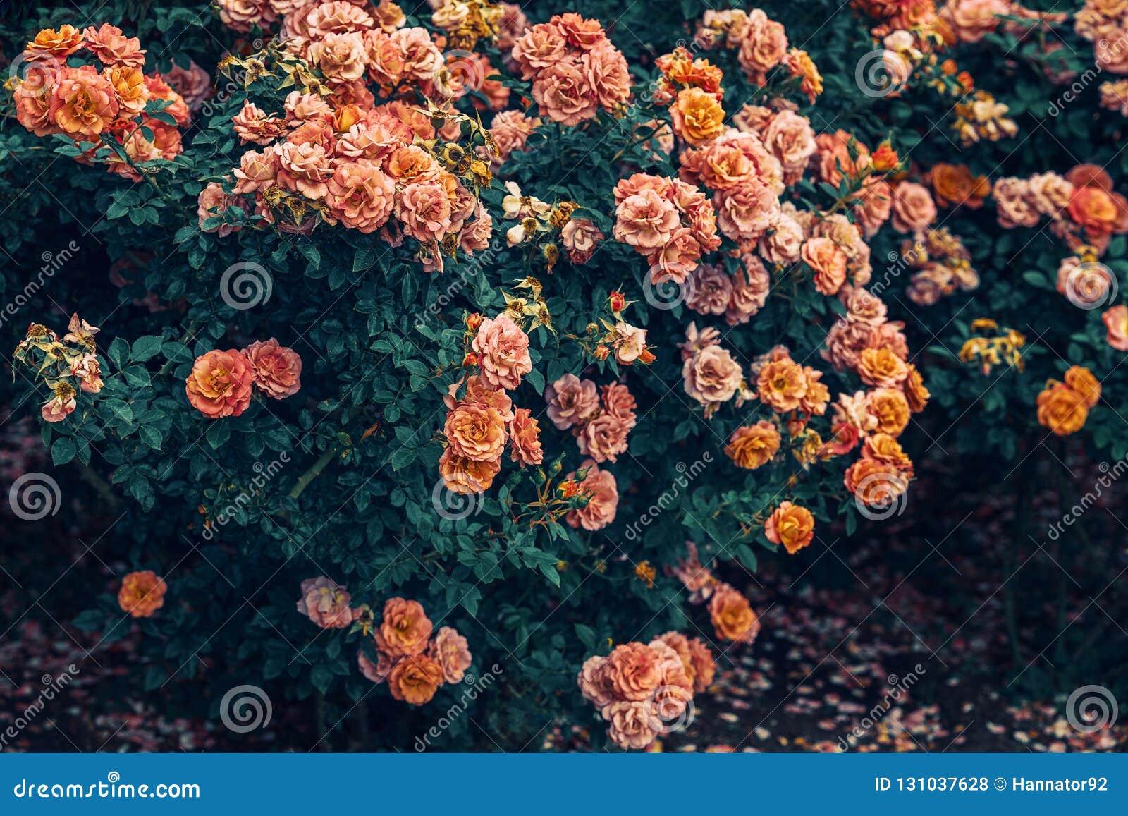 Μπους των κίτρινων, κόκκινων και ρόδινων τριαντάφυλλων