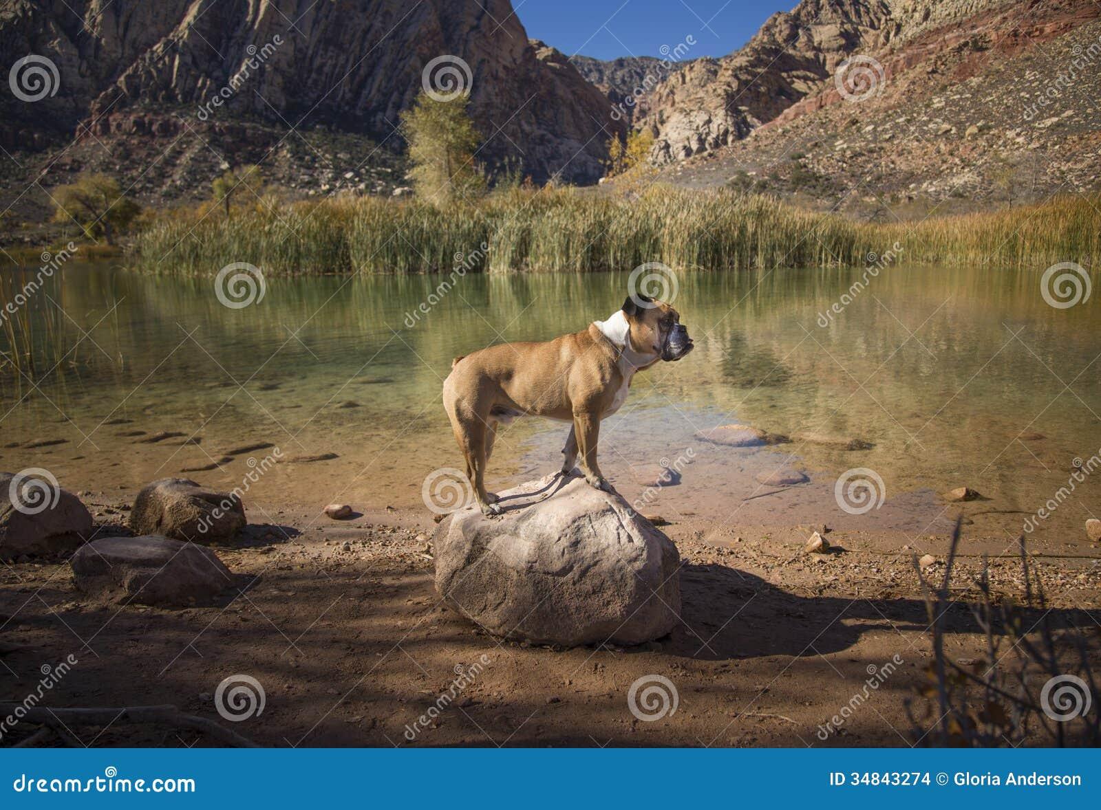 Μπουλντόγκ που τίθεται σε έναν βράχο από το νερό