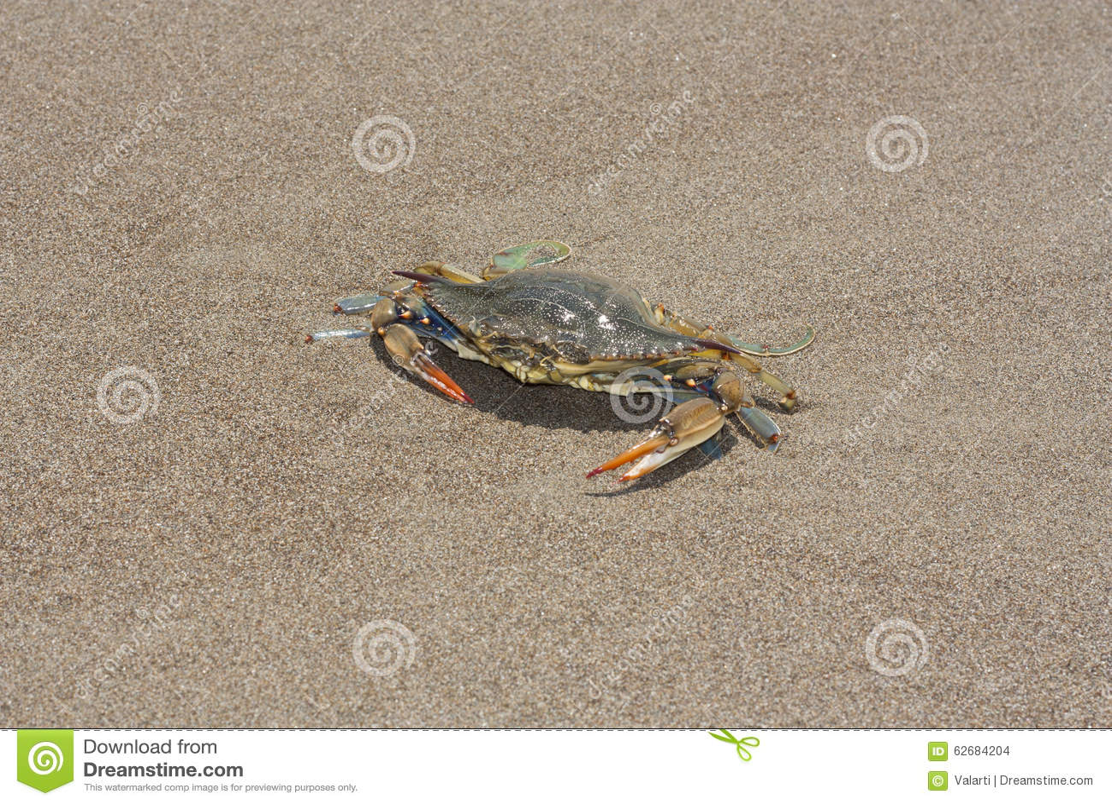 Μπλε καβούρι, sapidus Callinectes στην άμμο