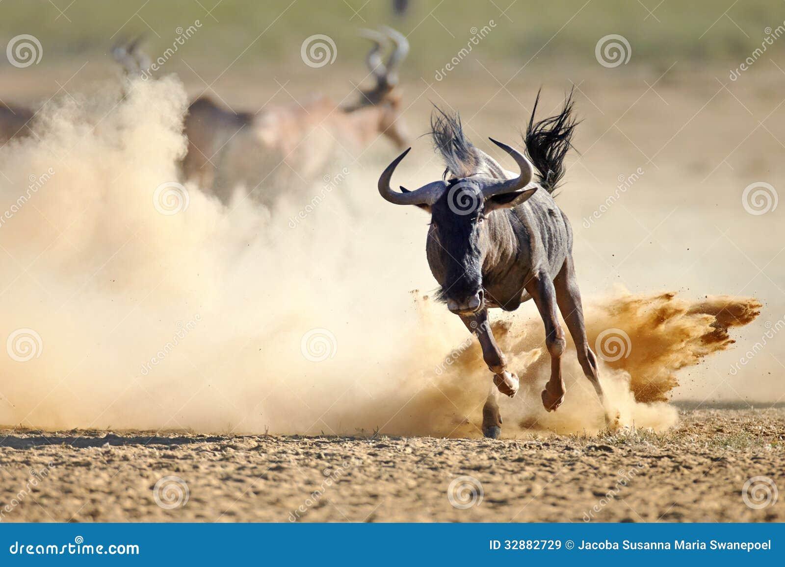 Μπλε πιό wildebeest τρέξιμο στις σκονισμένες πεδιάδες