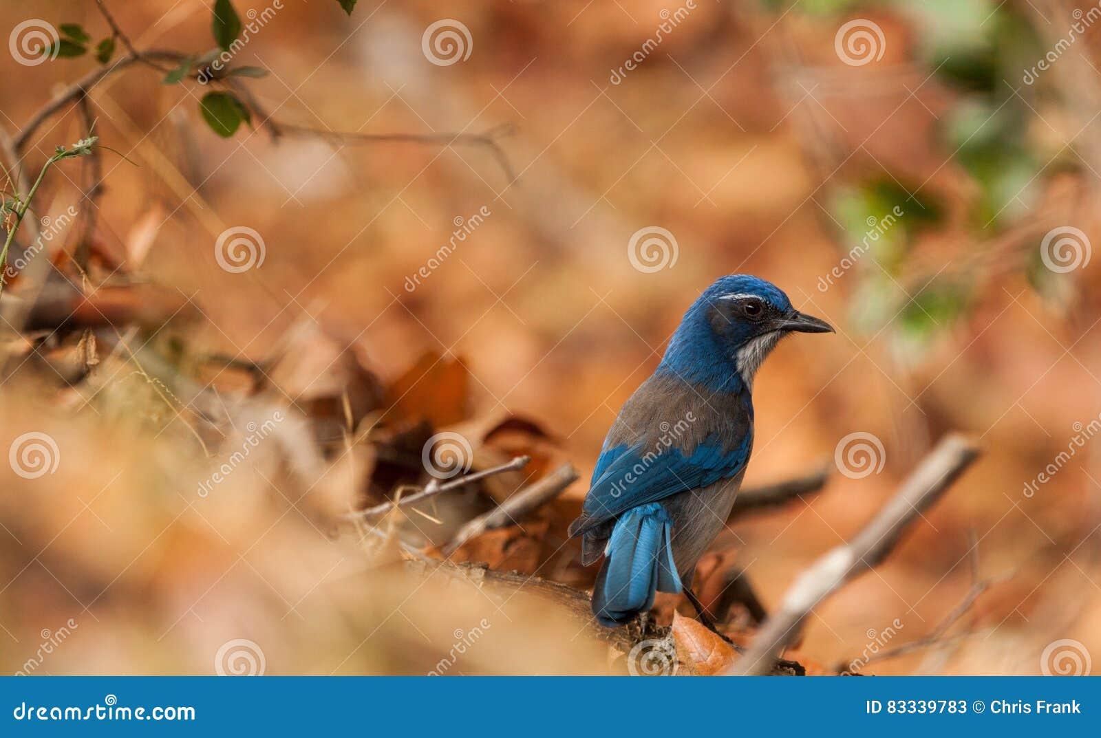 Μπλε πουλί