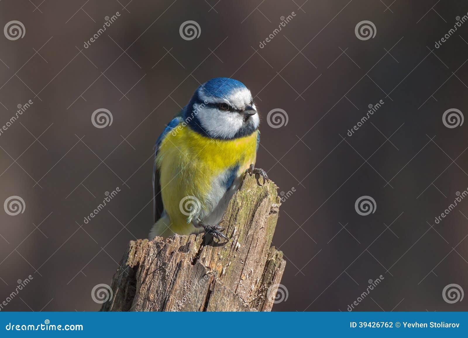 Μπλε tit στο ξηρό κολόβωμα