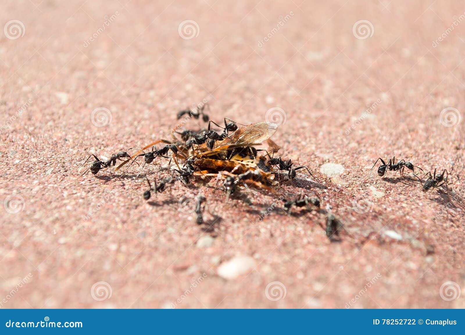 Μυρμήγκια στην επίθεση