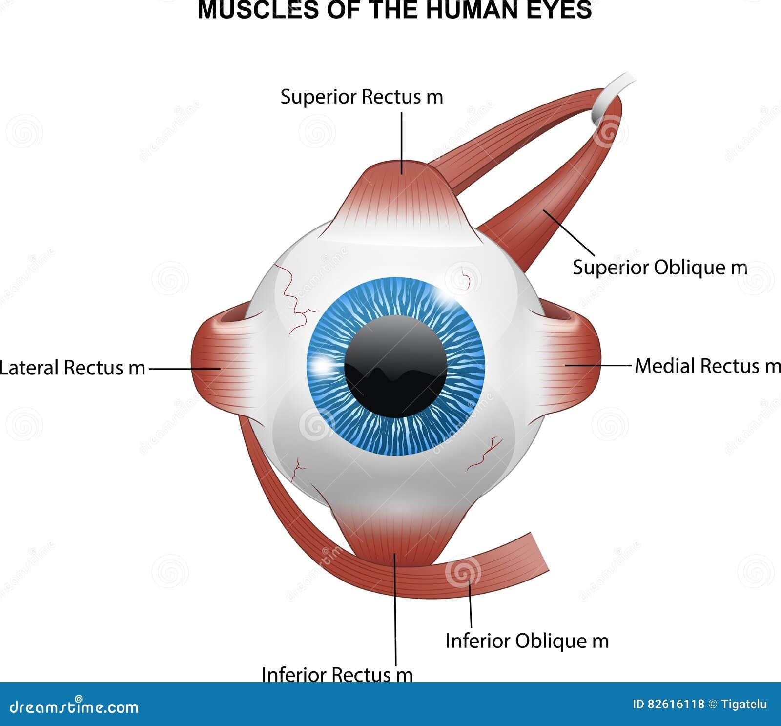 Μυ ες των ανθρώπινων ματιών