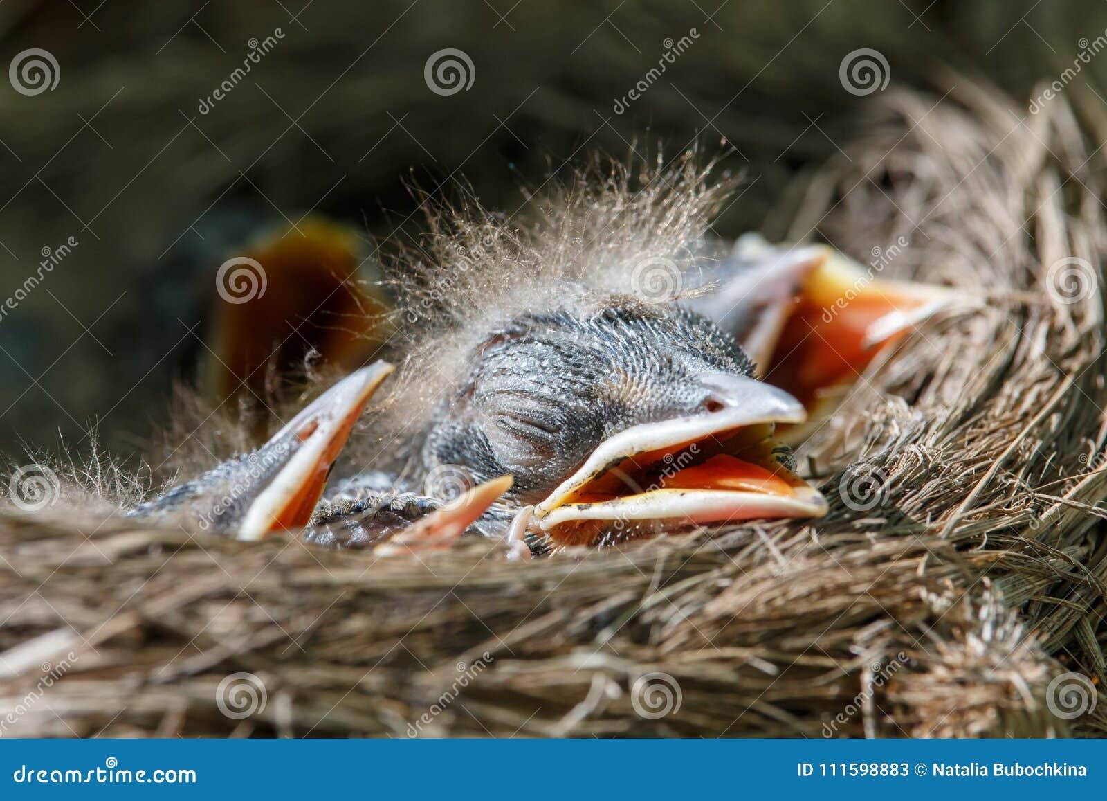 Μωρά κεδροτσιχλών στα pilaris Turdus φωλιών