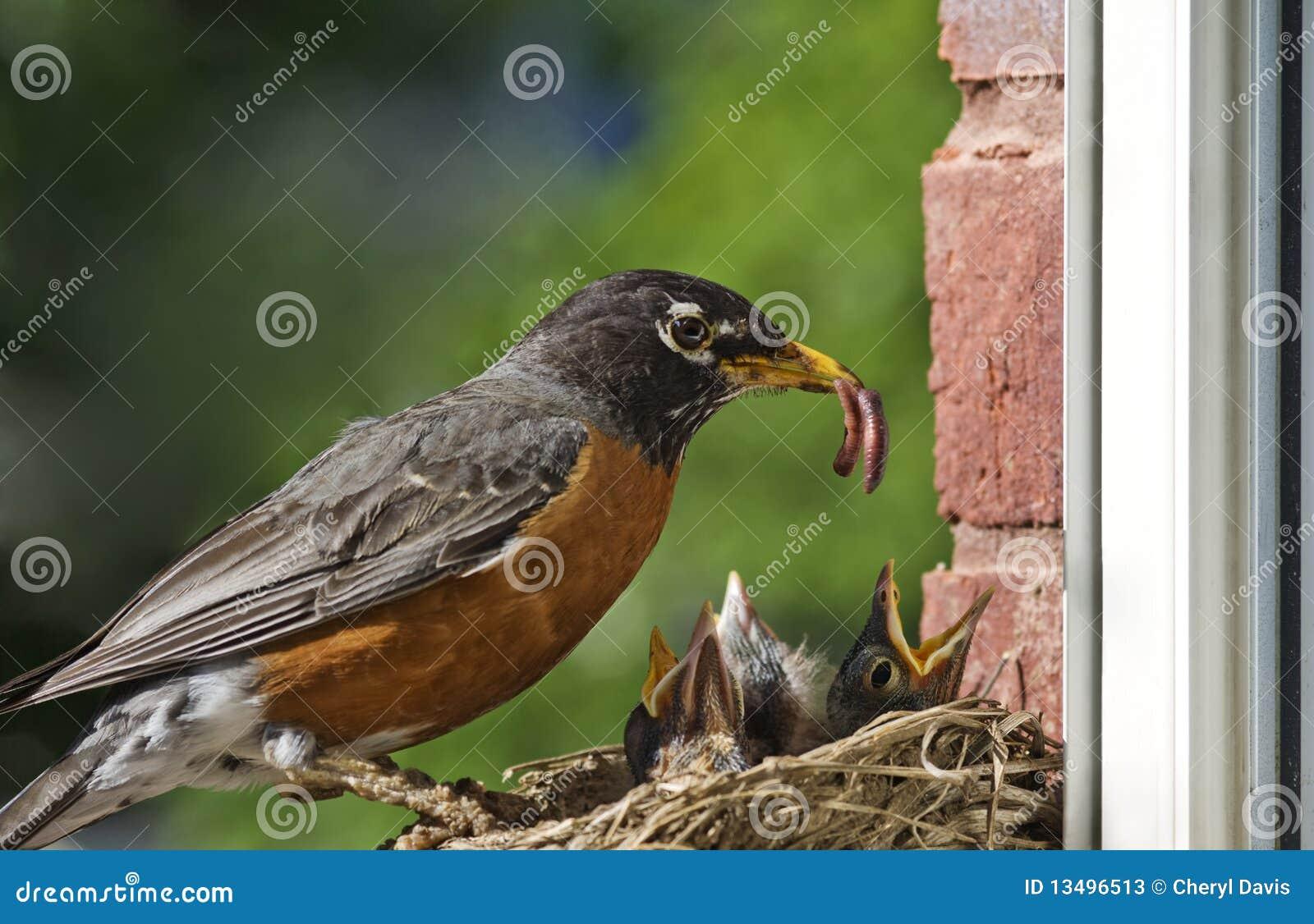 μωρά που ταΐζουν τη μητέρα Robin