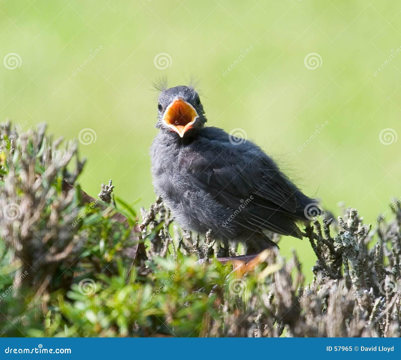 μωρό catbird