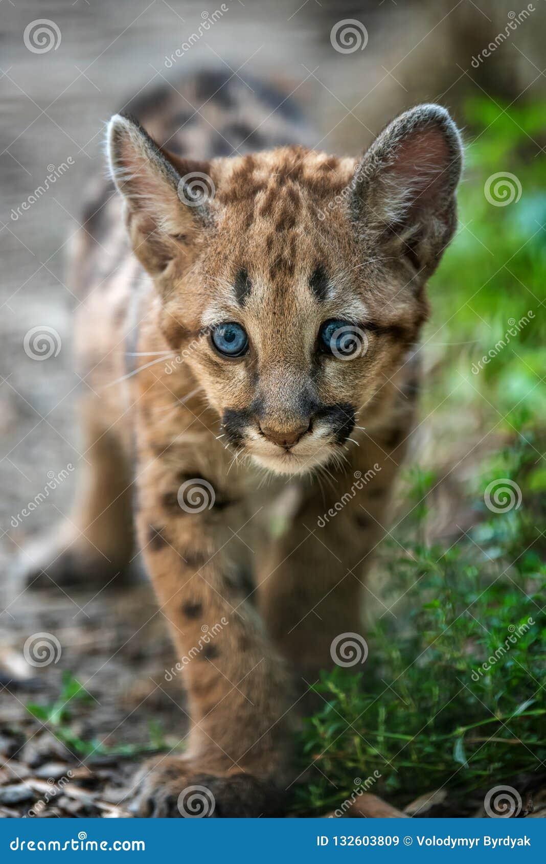 Μωρό cougar, λιοντάρι βουνών ή puma