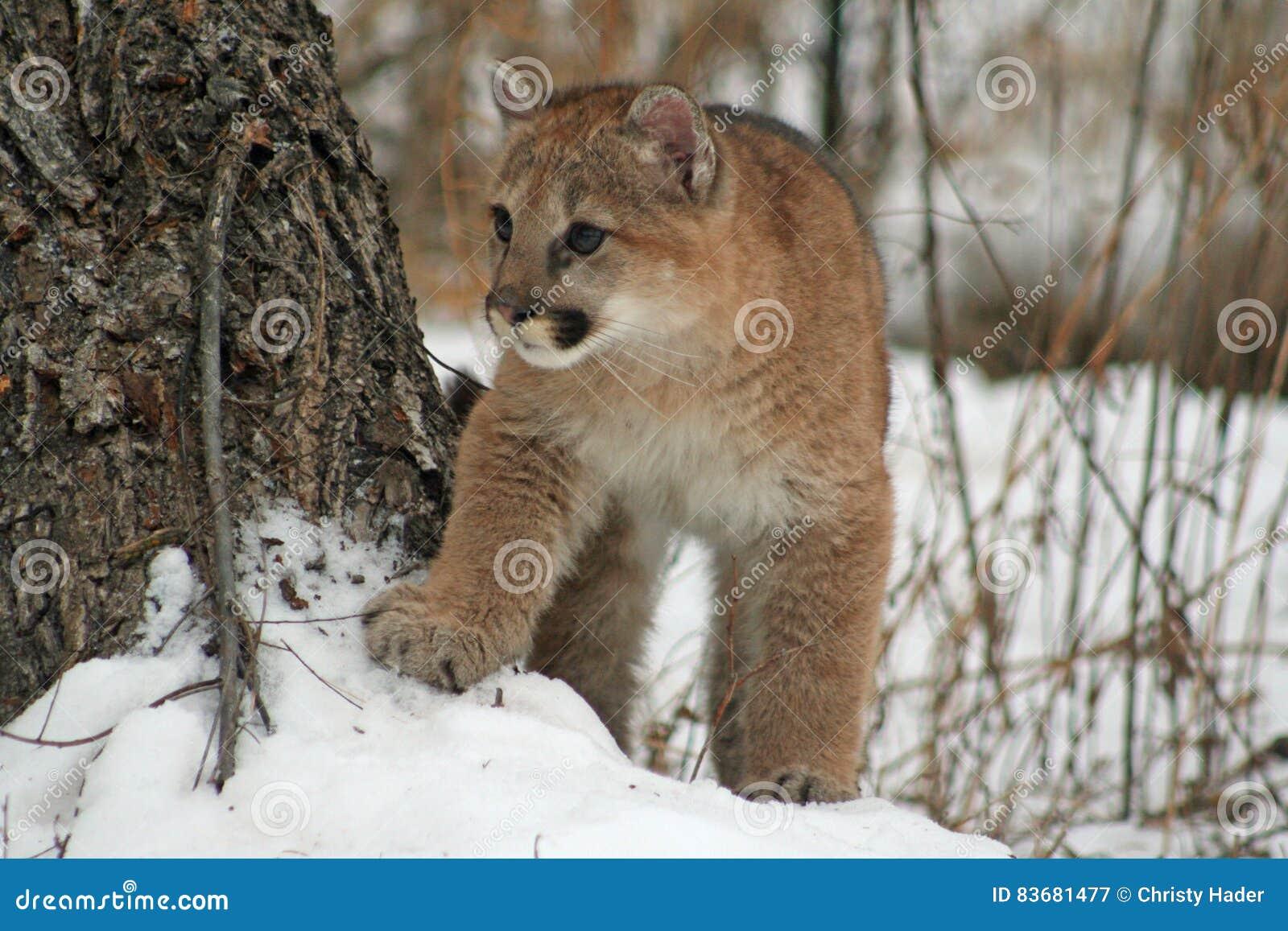 Μωρό cougar στο χιόνι