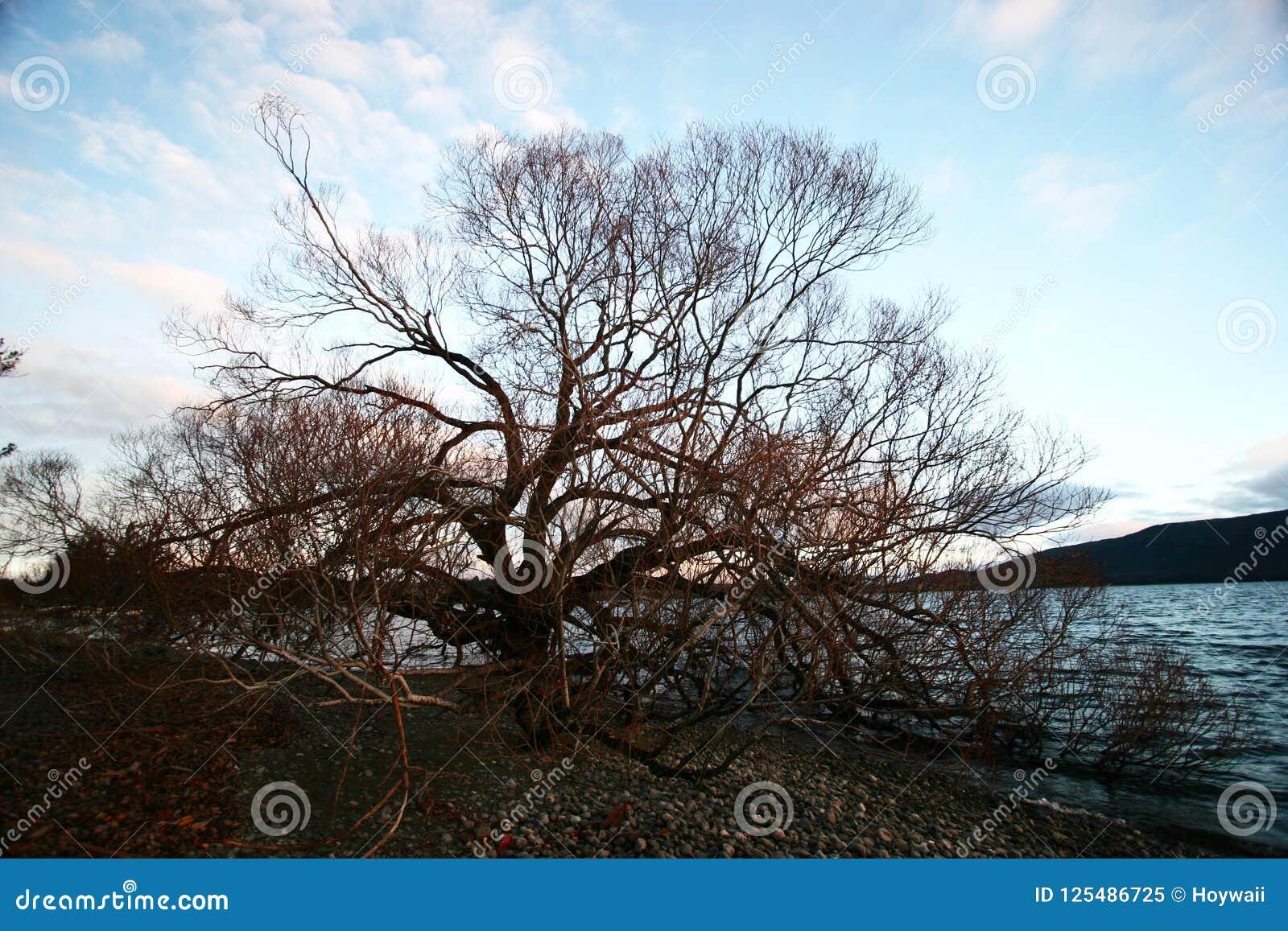 Μόνο άφυλλο δέντρο στη χαραυγή το χειμώνα