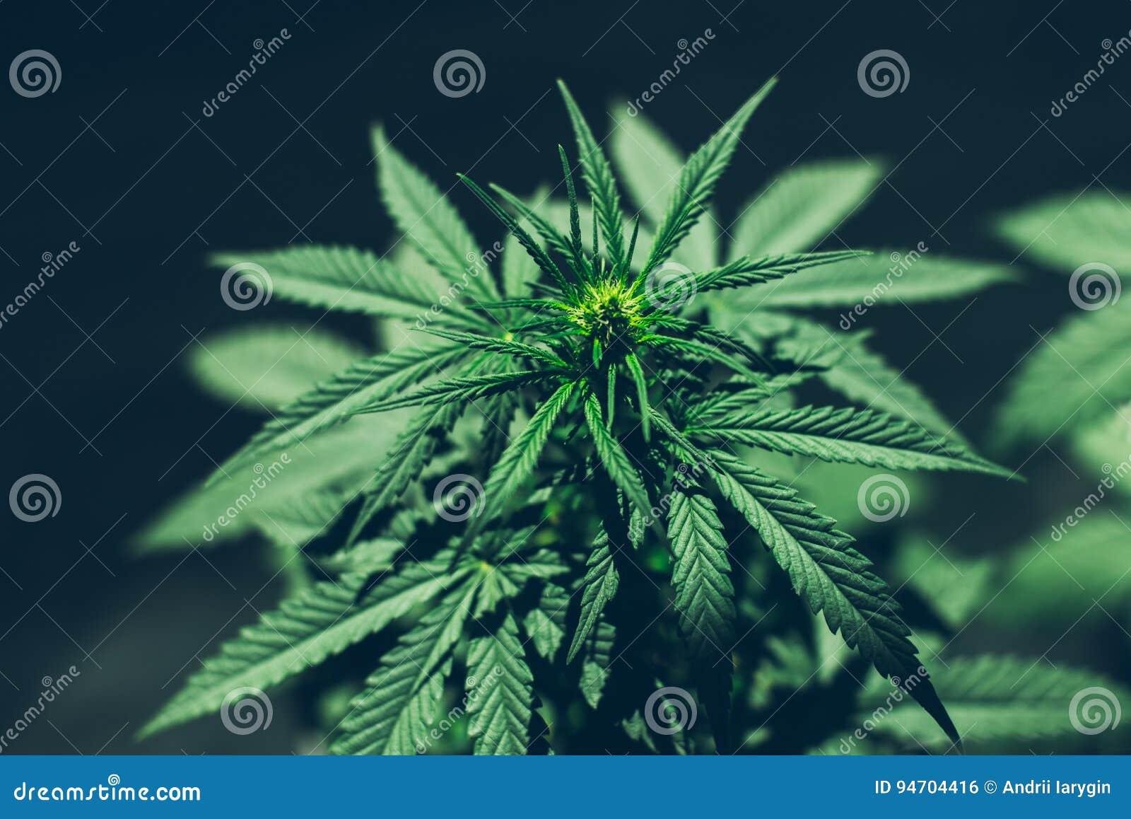 Μόνο ιατρικές εγκαταστάσεις CBD μαριχουάνα