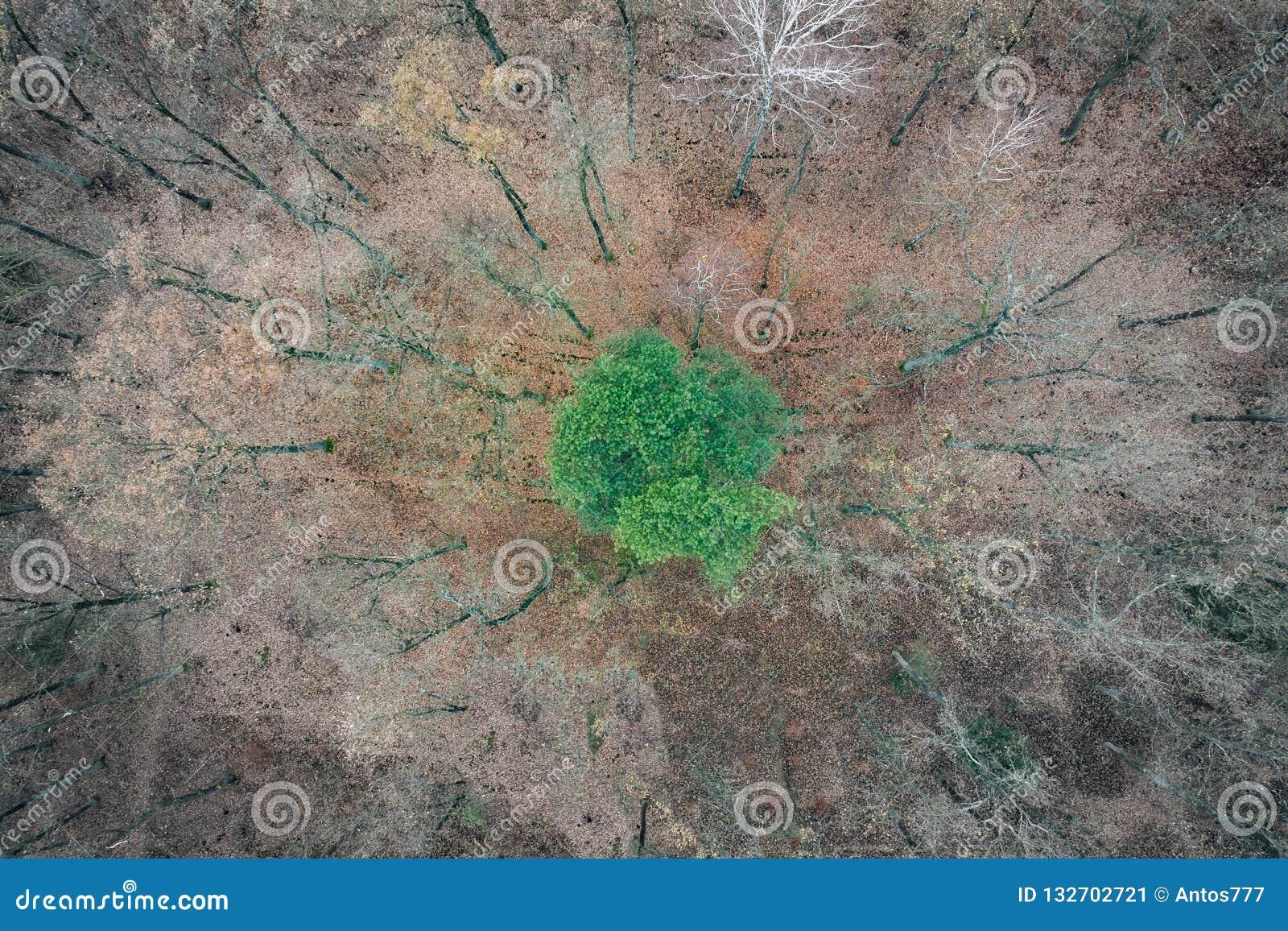 Μόνο πράσινο δέντρο μεταξύ των νεκρών δέντρων