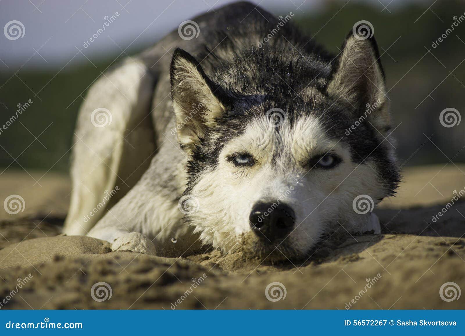 Download Μόνο σκυλί που βρίσκεται στην άμμο Στοκ Εικόνα - εικόνα από εγκαταλειμμένος, ένας: 56572267
