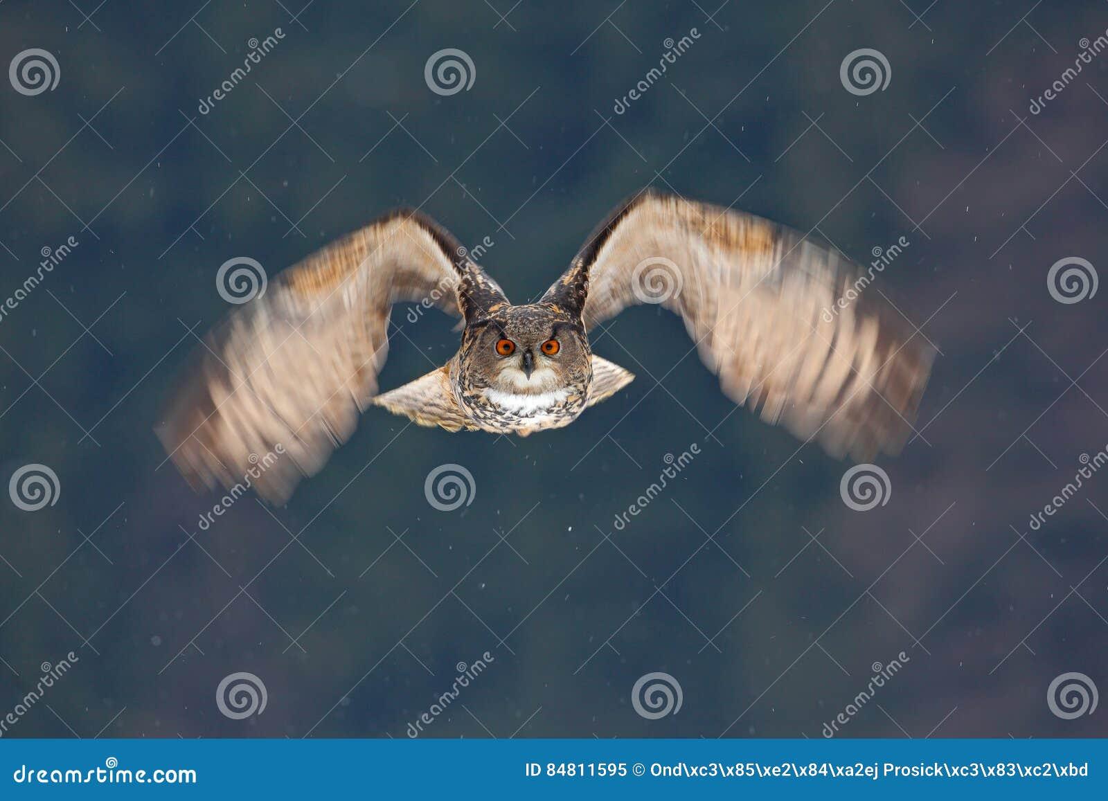Μύγα προσώπου της κουκουβάγιας Πετώντας ευρασιατικός μπούφος με τα ανοικτά φτερά με τη νιφάδα χιονιού στο χιονώδες δάσος κατά τη