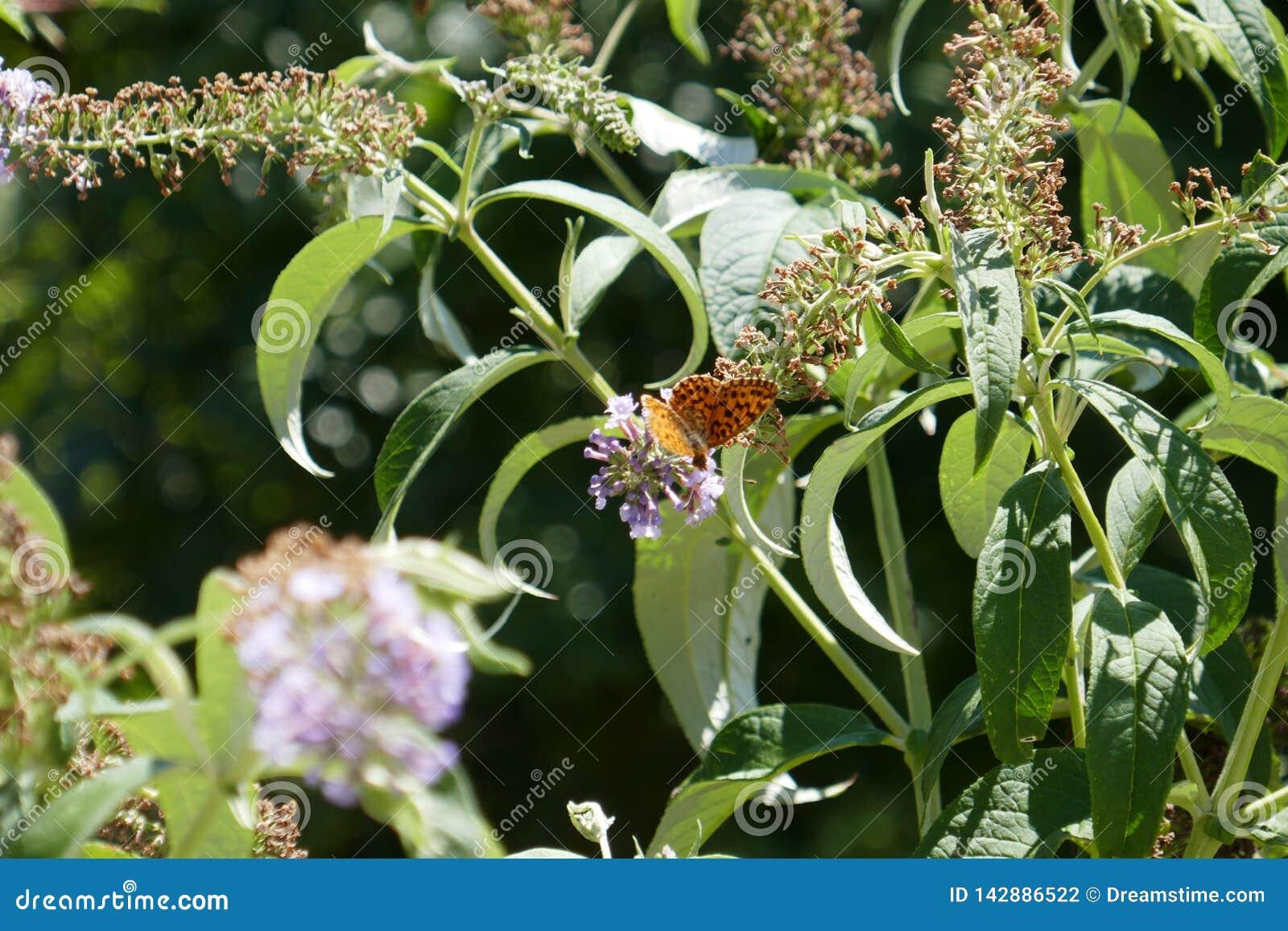 Μύγα στάσεων πεταλούδων