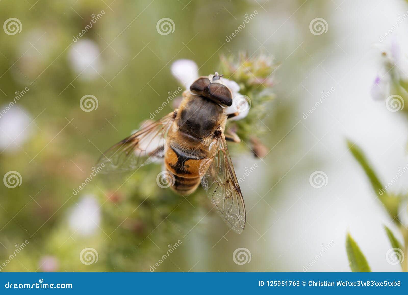Μύγα Eristalis tenax κηφήνων, σε ένα λουλούδι