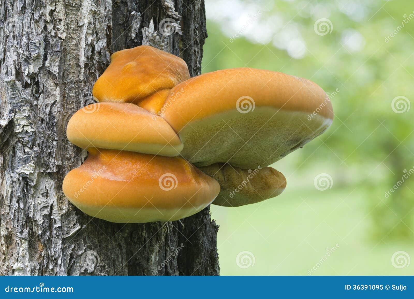 Μύκητας ραφιών στο δέντρο