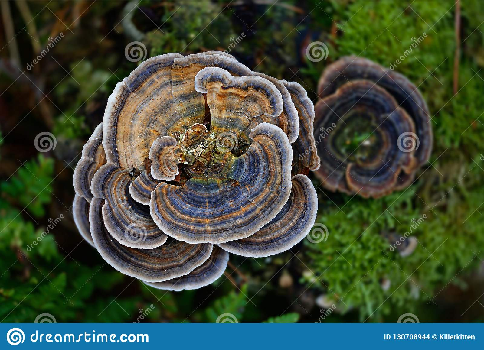 μύκητας turkeytail