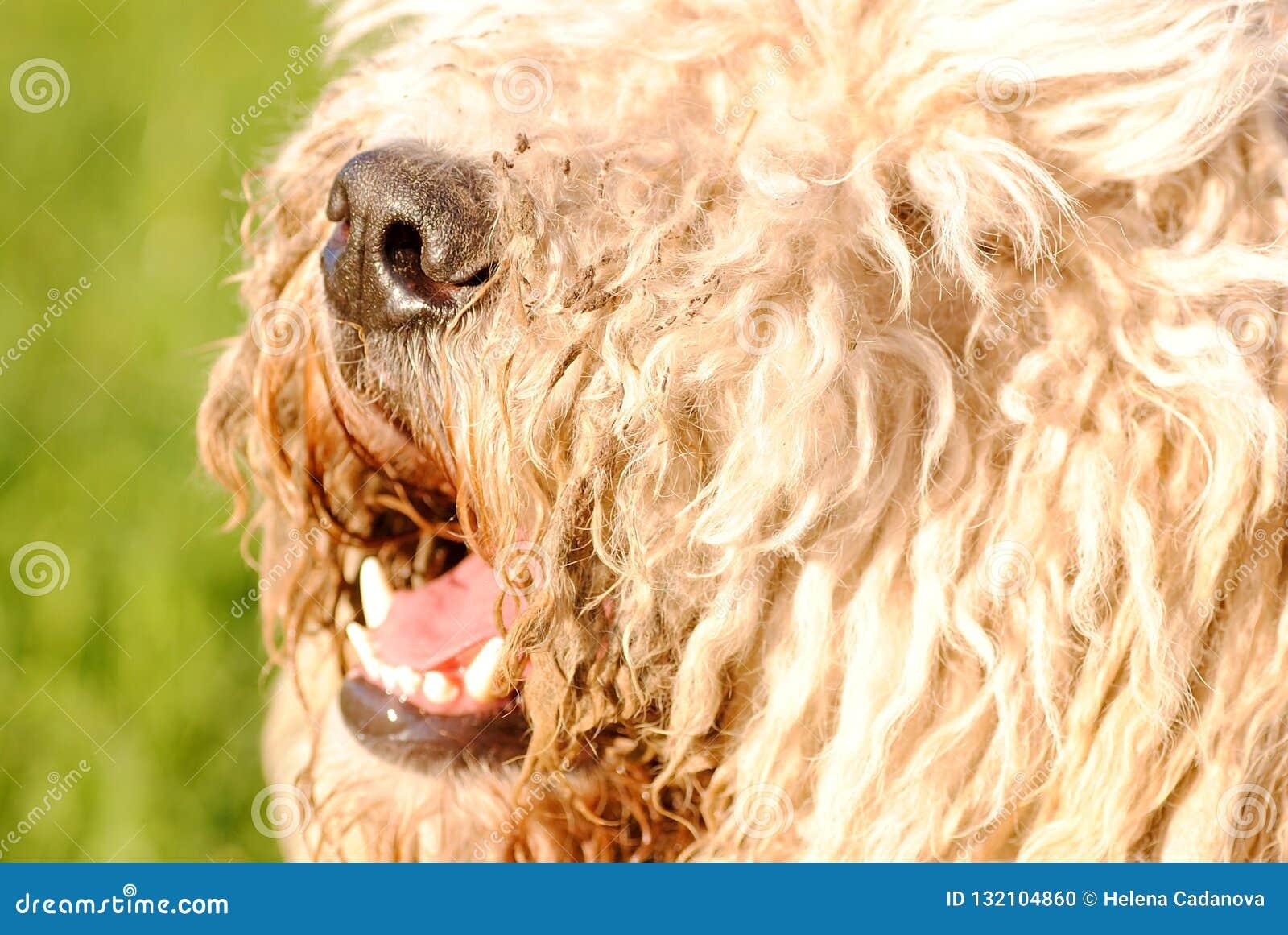 Μύτη του μεγάλου τριχωτού σκυλιού