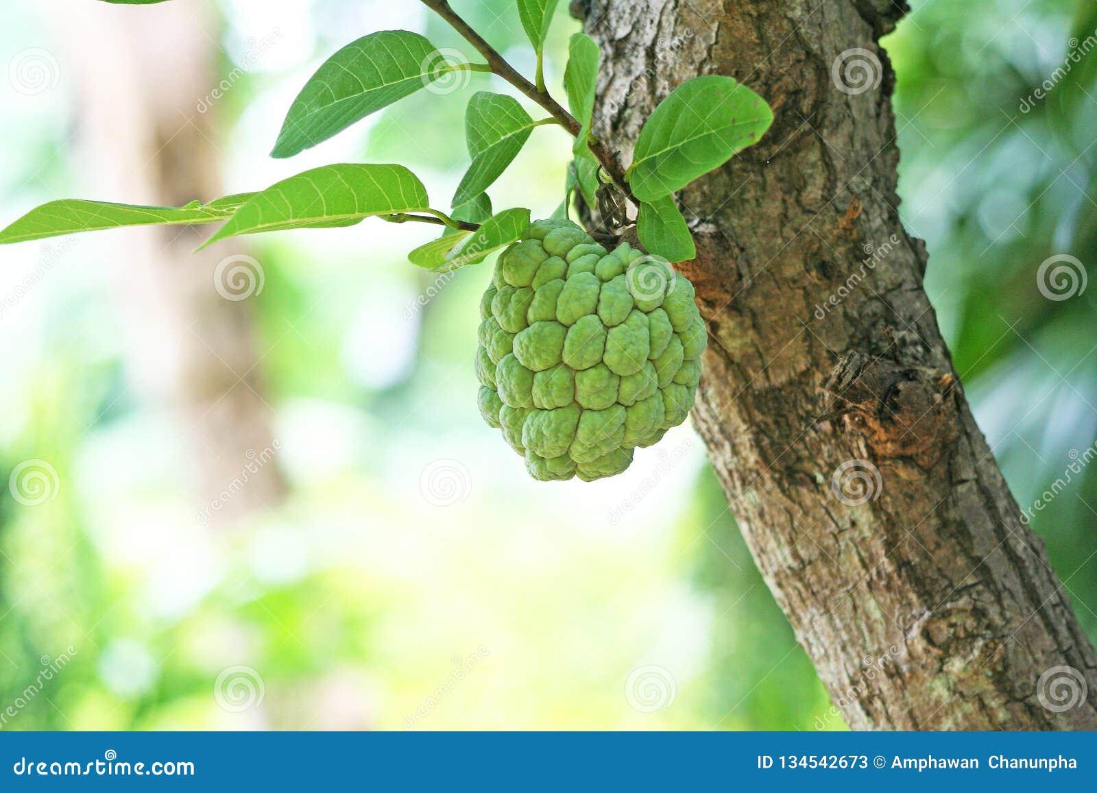 Νέα ένωση μήλων κρέμας στο δέντρο, μήλο ζάχαρης