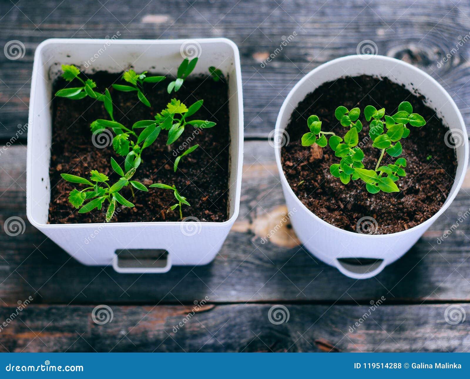 Νέα πράσινα στα δοχεία, νεαροί βλαστοί του βασιλικού και του κορίανδρου