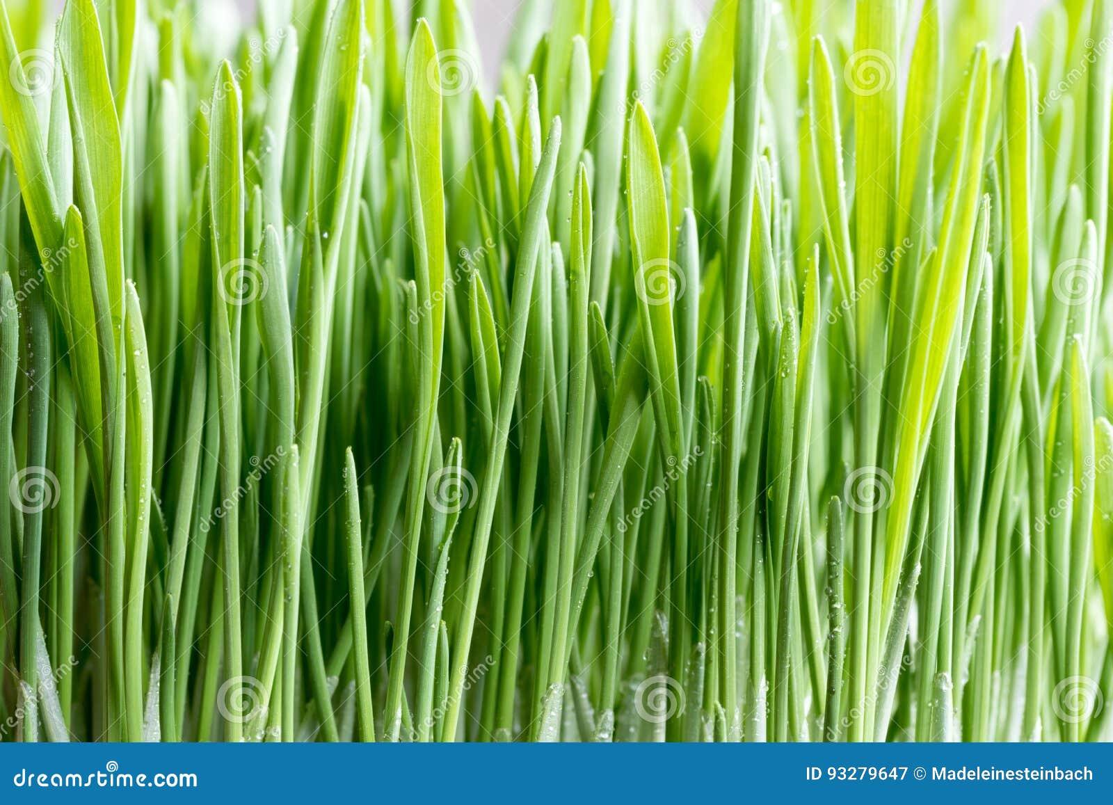 Νέα πράσινη ανάπτυξη χλόης κριθαριού στο χώμα