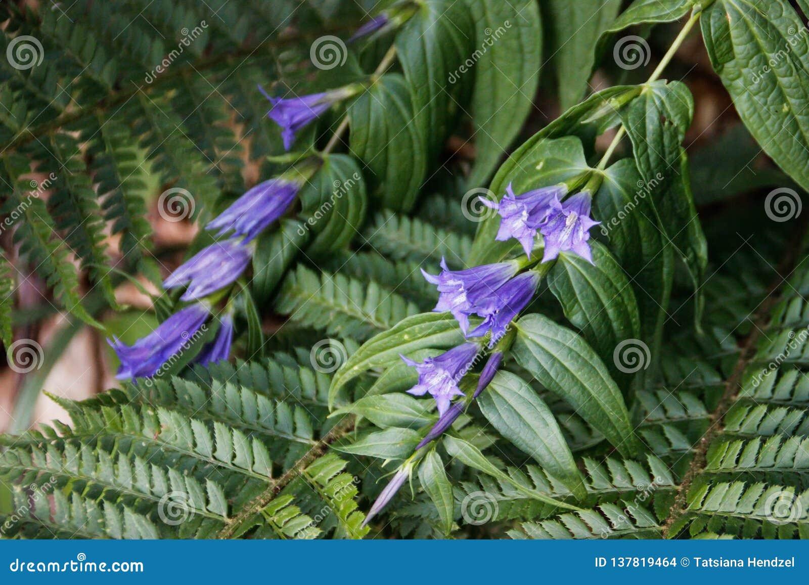 Νέα φωτεινά φύλλα και λουλούδια του πορφυρών κουδουνιού και της φτέρης