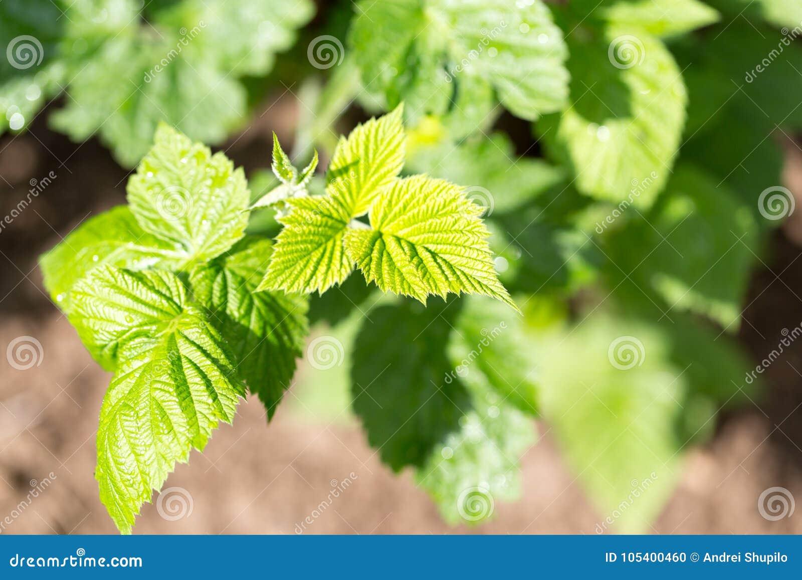 Download Νέα φύλλα σμέουρων στη φύση Στοκ Εικόνες - εικόνα από διακόσμηση, floral: 105400460