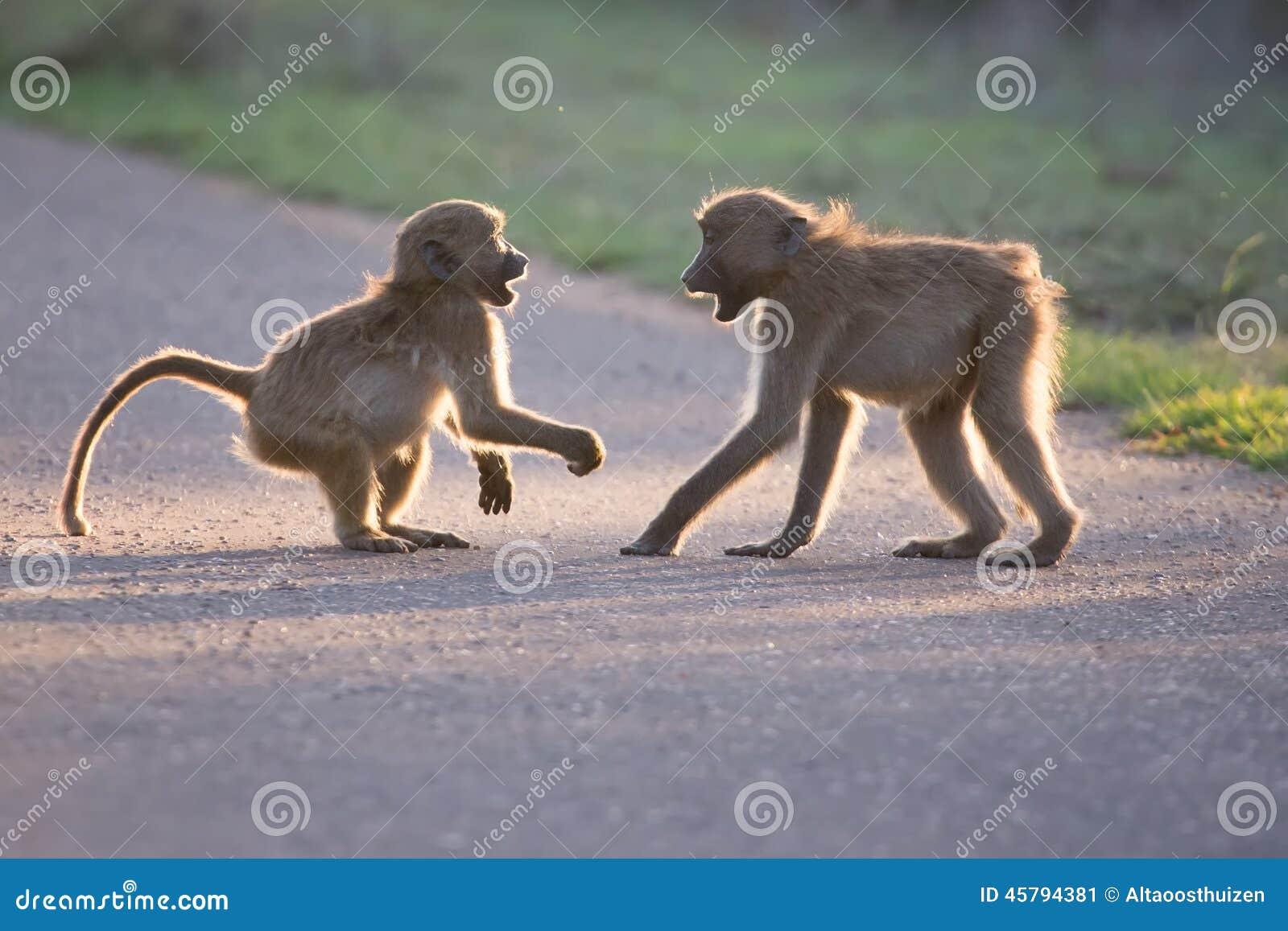 Νέα baboons που παίζουν σε έναν δρόμο αργά το απόγευμα πρίν επιστρέφει
