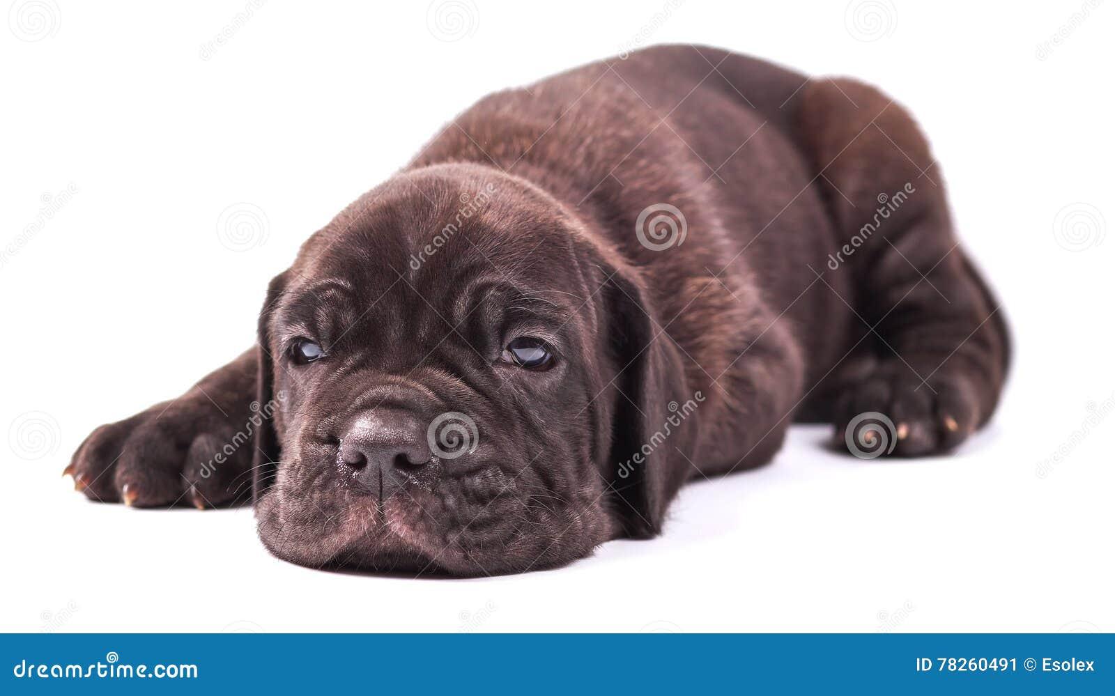 Νέα corso & x28 καλάμων μαστήφ puppie ιταλικά 1 month& x29  να βρεθεί