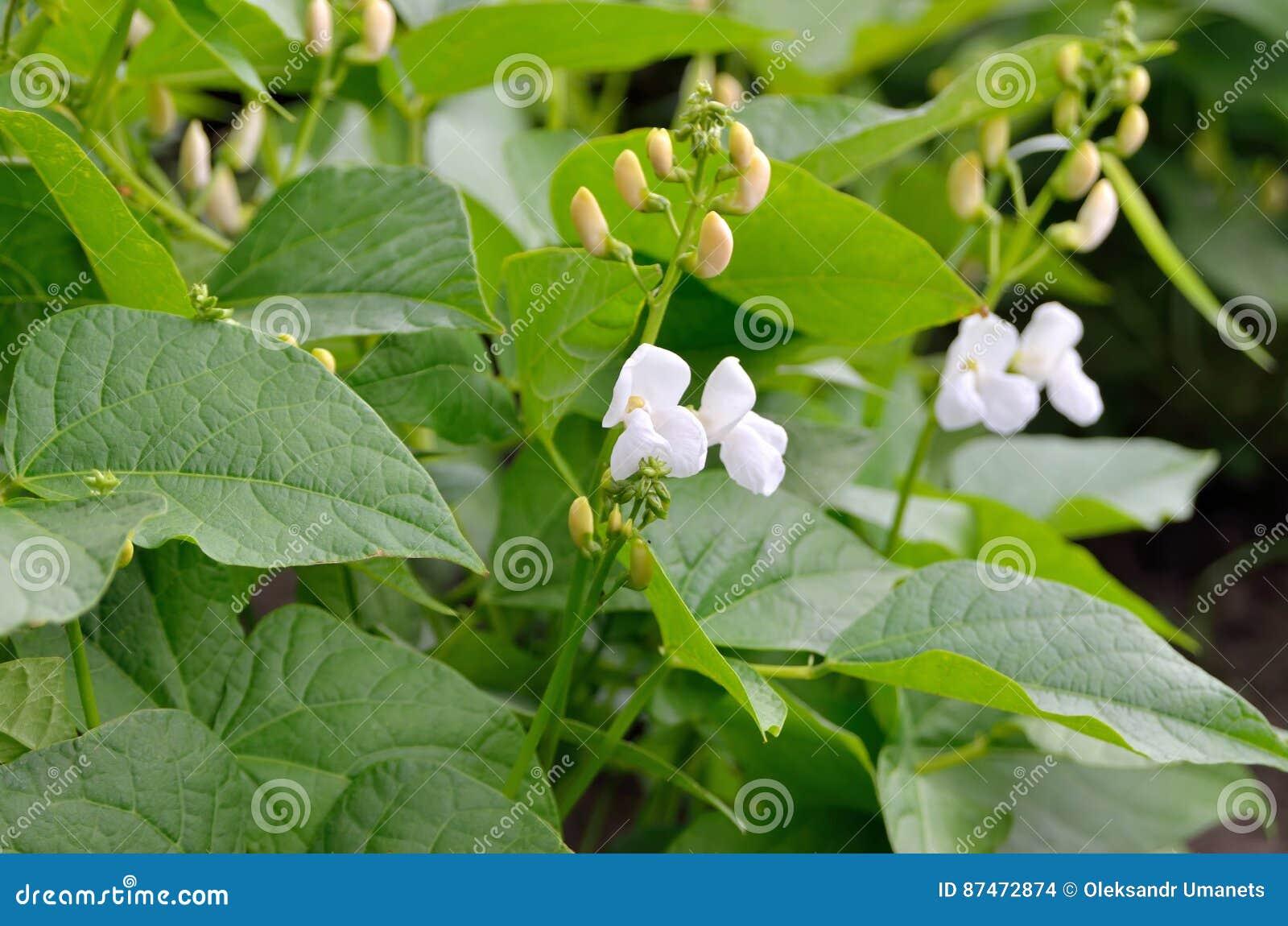 Νέοι βλαστοί και λουλούδια φασολιών στον τομέα