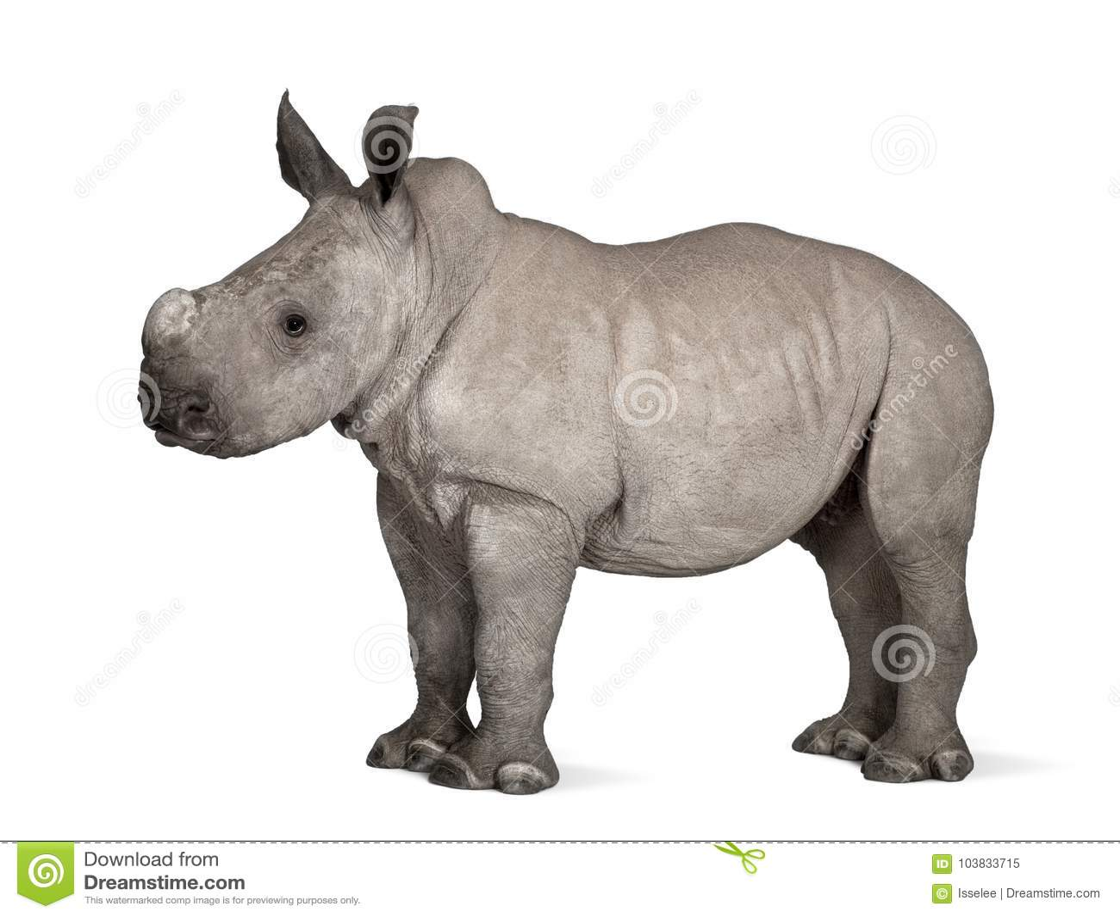 Νέος άσπρος ρινόκερος ή τετραγωνικός-χειλικός ρινόκερος - Ceratotheri