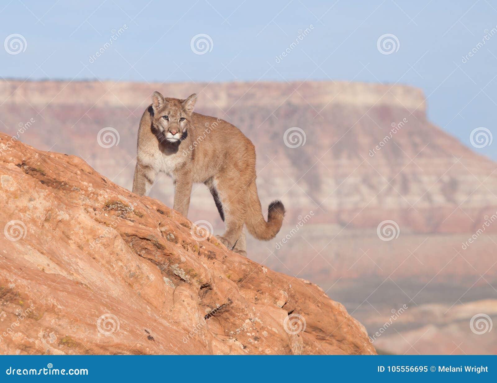 Νέος cougar σε μια κόκκινη κορυφογραμμή βράχου στη νότια Γιούτα