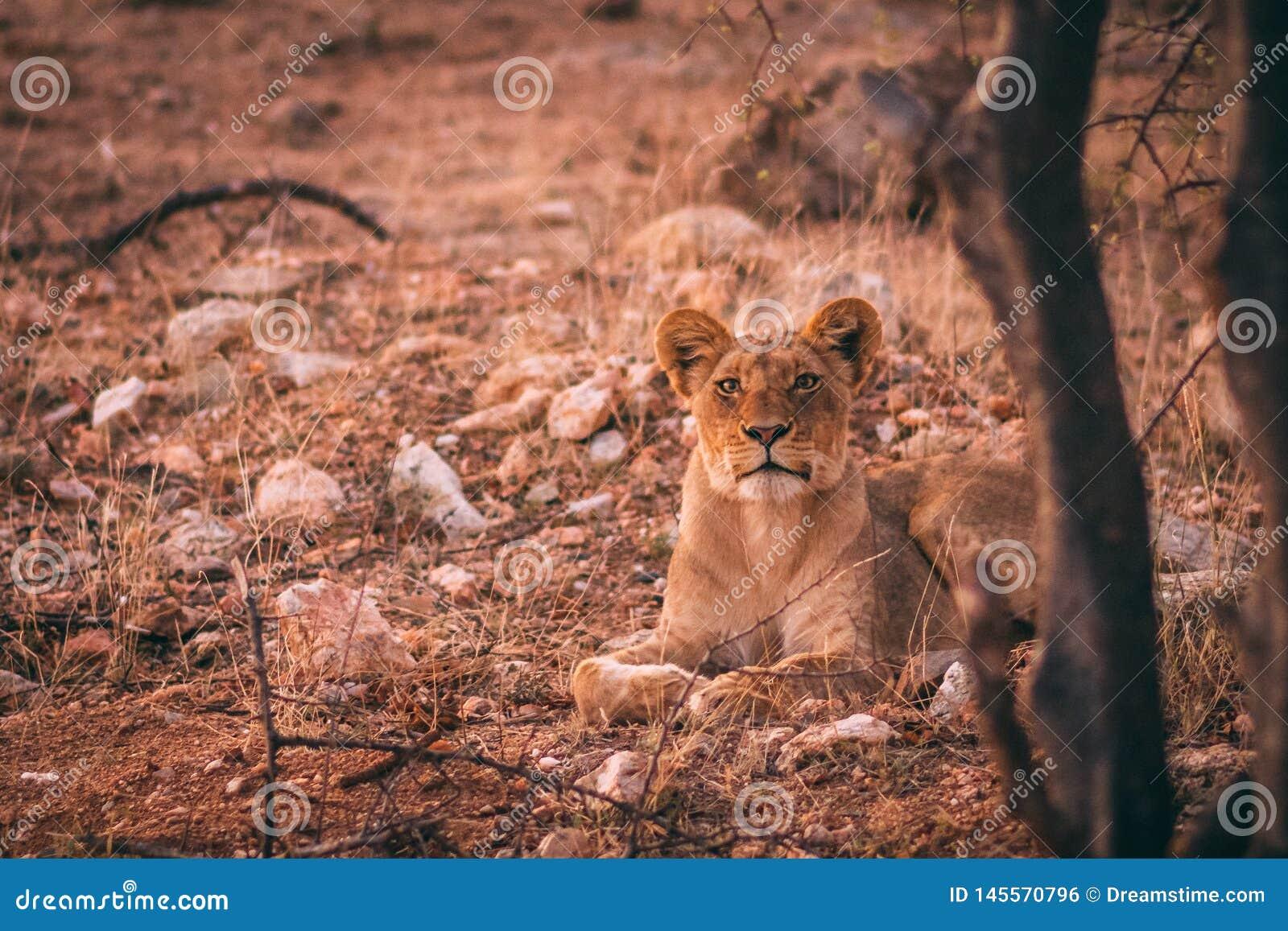 Νέο αφρικανικό λιοντάρι που κοιτάζει επίμονα στη κάμερα
