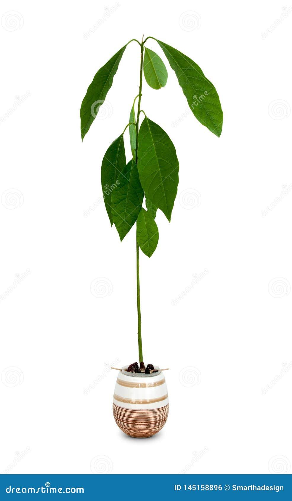 Νέο δέντρο αβοκάντο κινηματογραφήσεων σε πρώτο πλάνο o