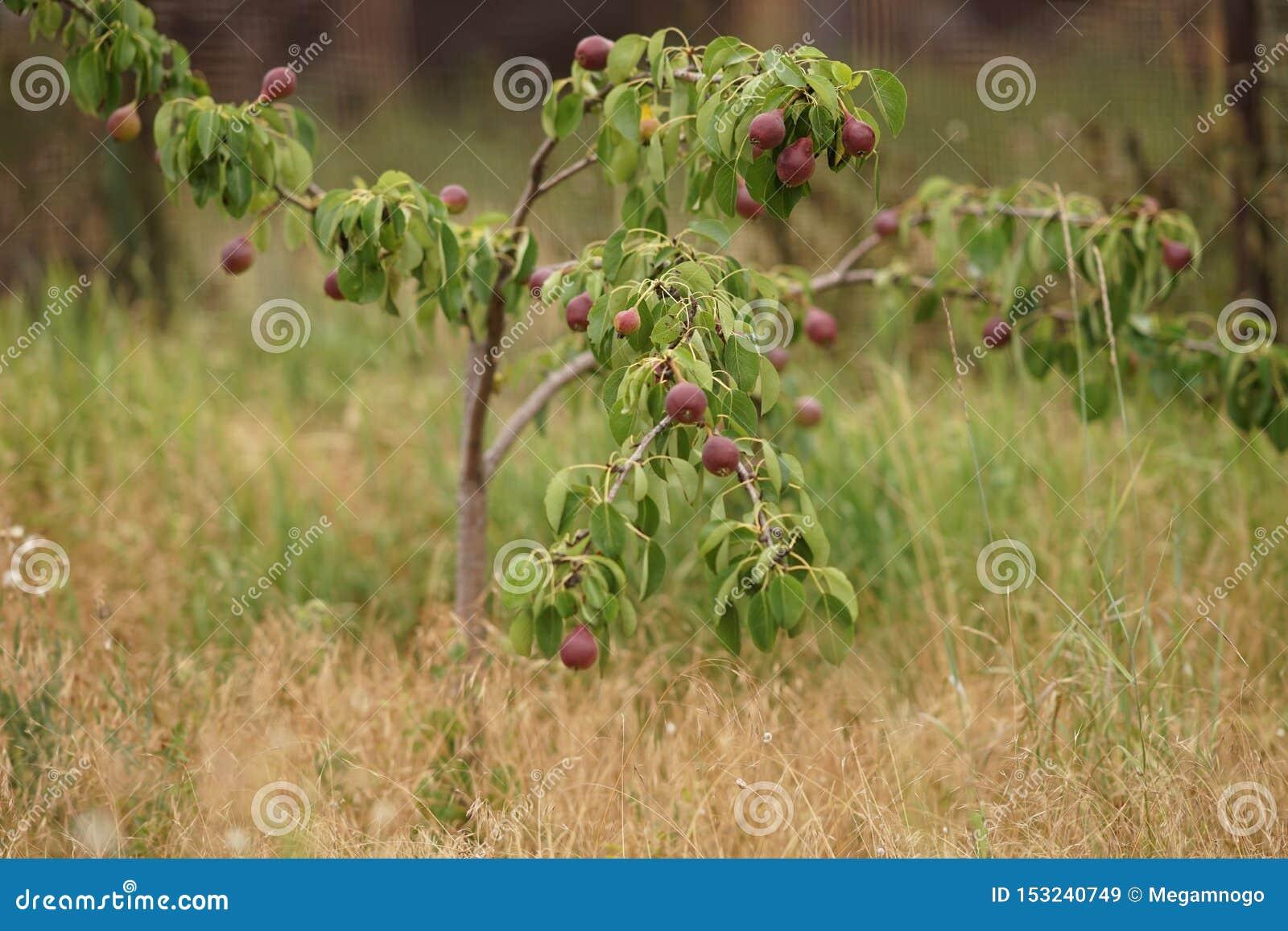 Νέο οπωρωφόρο δέντρο με τα σκοτεινά burgundy αχλάδια που αυξάνονται στο θερινό κήπο