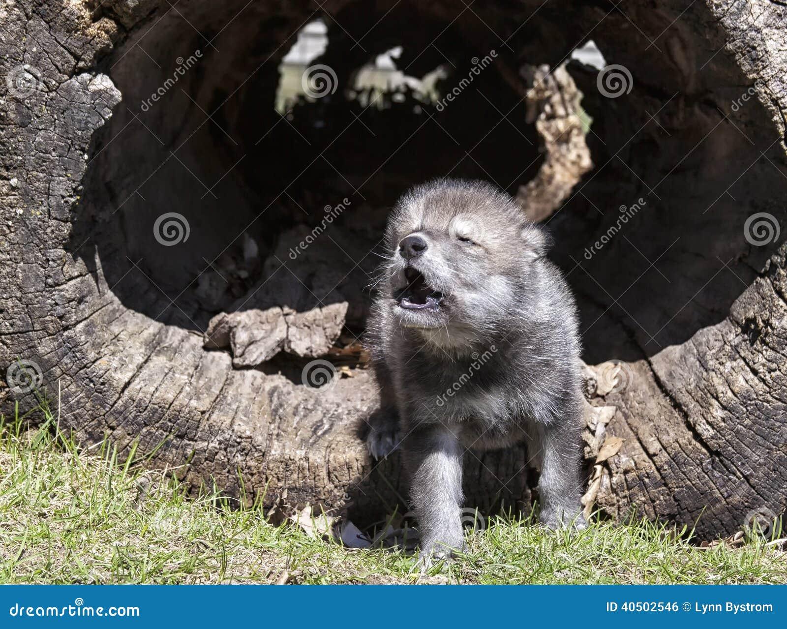 Νέο ουρλιαχτό λύκων ξυλείας