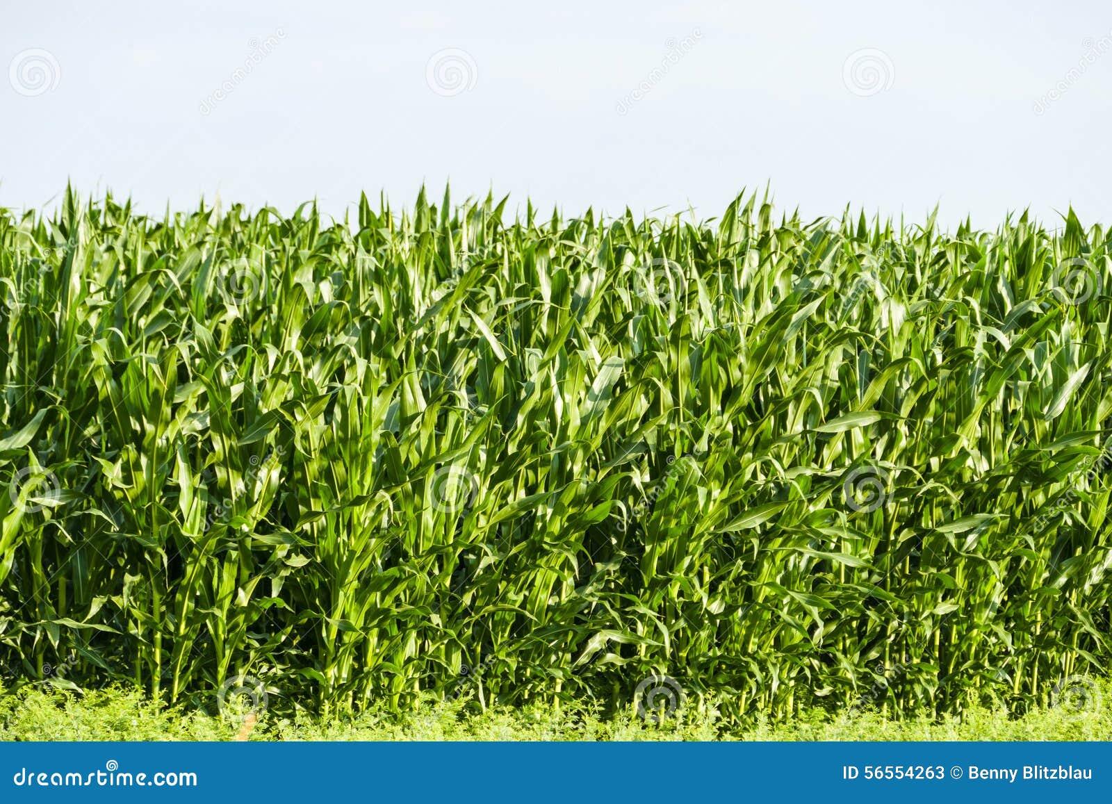 Download Νέο πεδίο καλαμποκιού στοκ εικόνα. εικόνα από σειρά, σιτάρι - 56554263