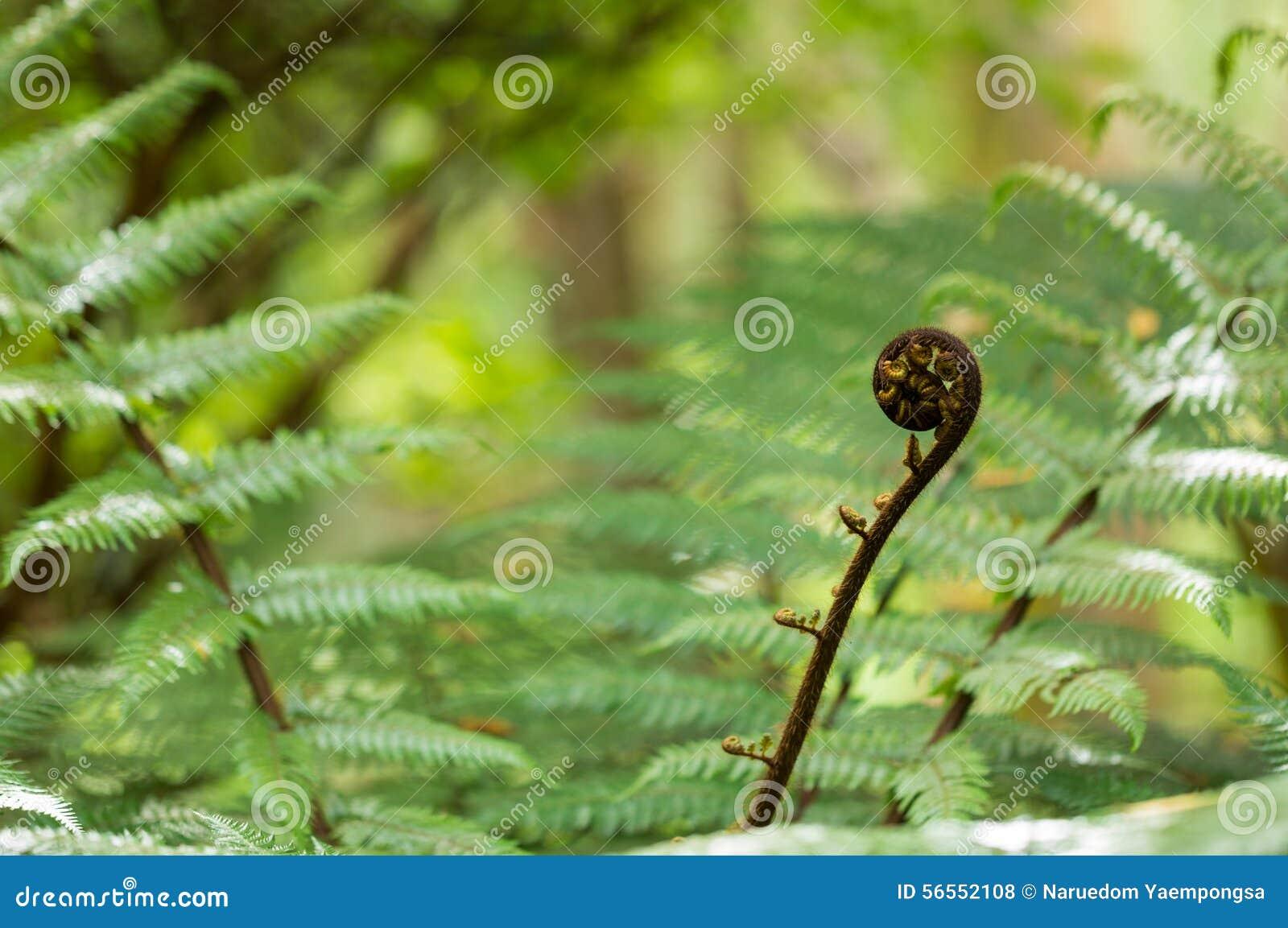 Download Νέο φύλλο της ασημένιας φτέρης της Νέας Ζηλανδίας Στοκ Εικόνες - εικόνα από φυτό, πεδίο: 56552108